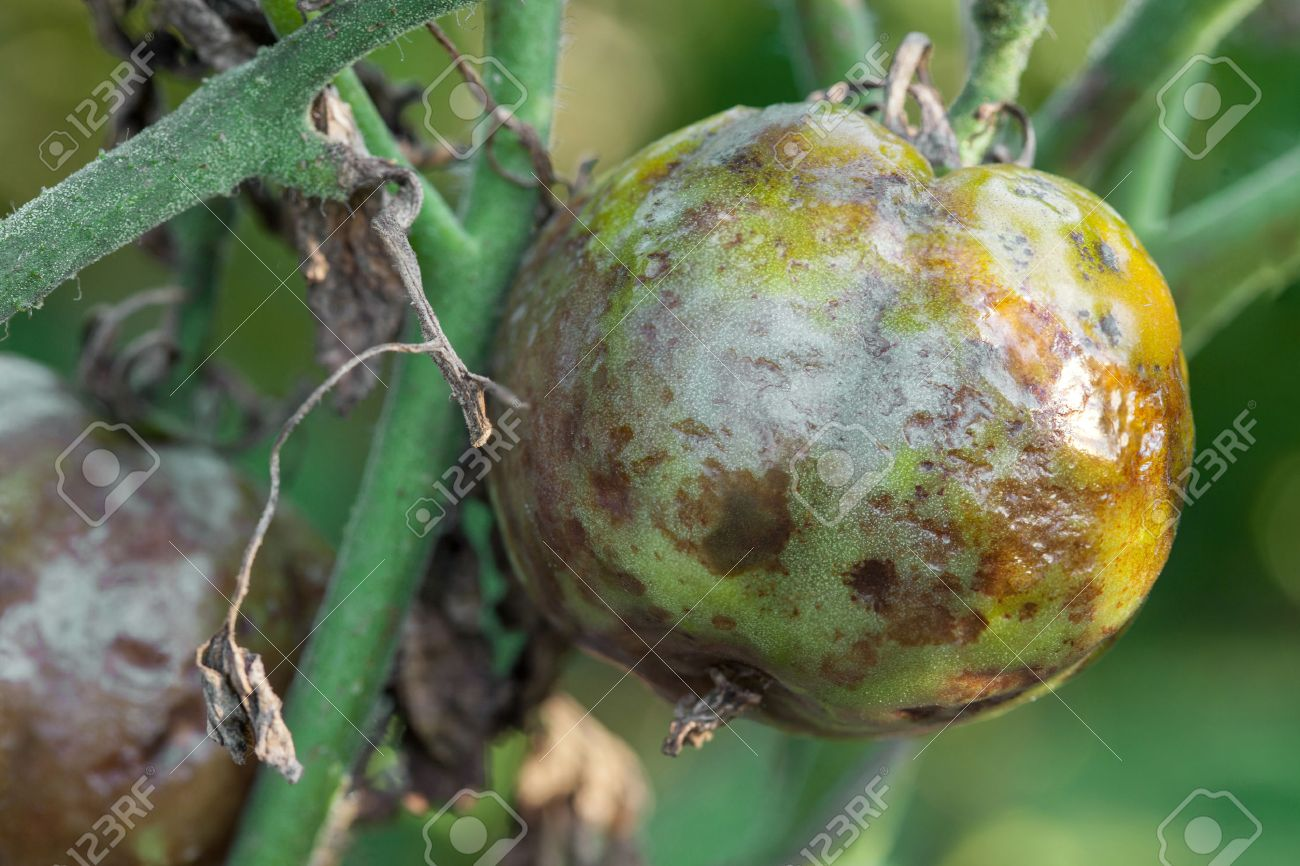 Tomatoes get sick by late blight closeup photo - 30661386