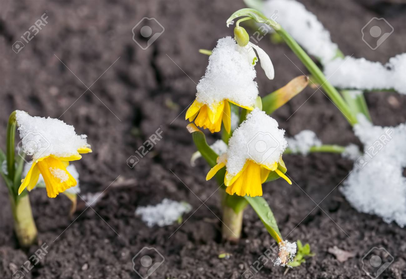 Yellow daffodils growing in early spring primroses are covered stock photo yellow daffodils growing in early spring primroses are covered with snow blooming spring flowers mightylinksfo