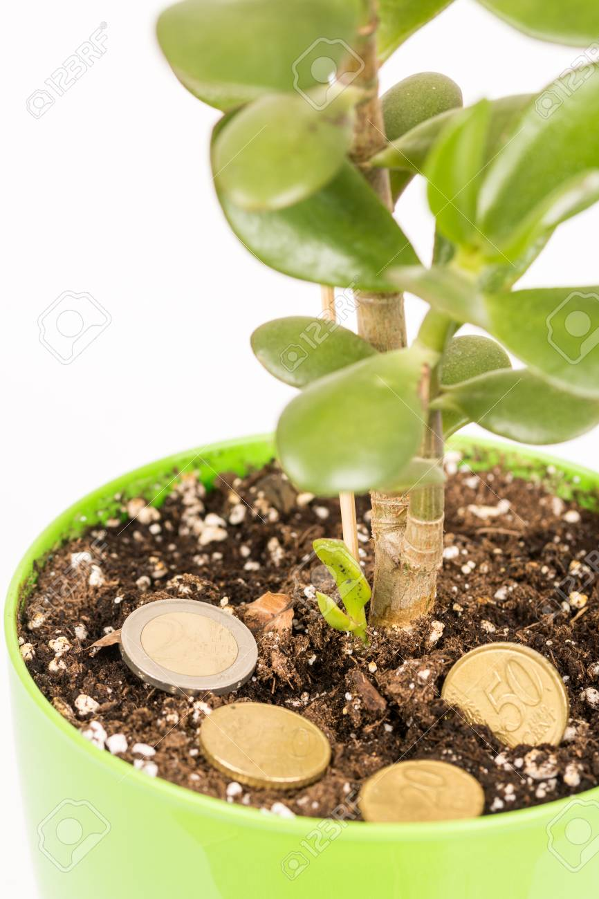 Feng shui money tree or crasula ovata with euro metal coins in