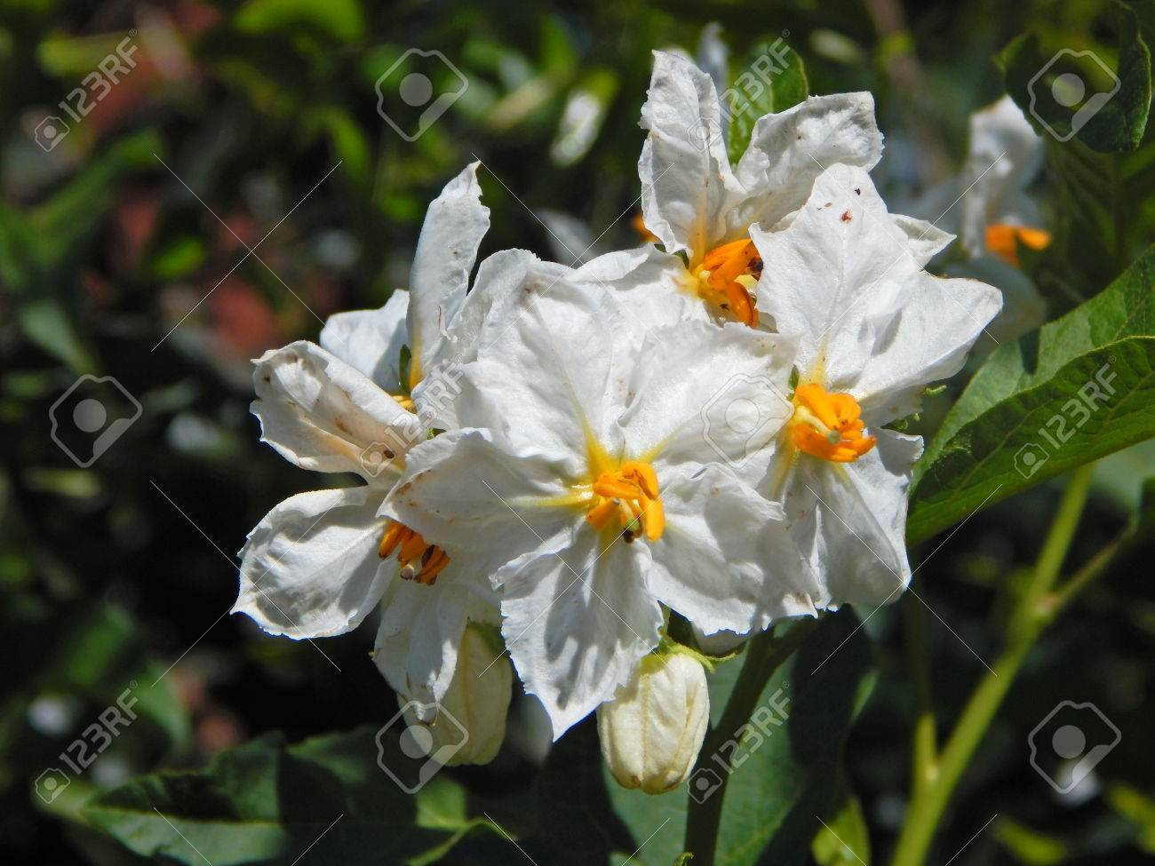 Beautiful White Flowers With Yellow Center Stock Photo Picture And