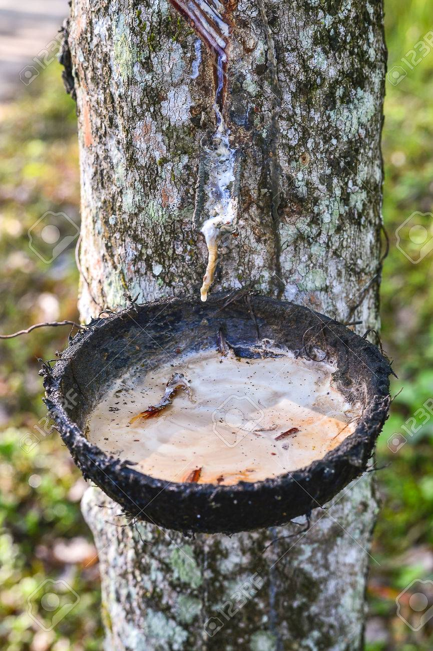 The Latex Sap From Rubber Milk Of Rubber Tree Stock Photo Picture And Royalty Free Image Image 59098518