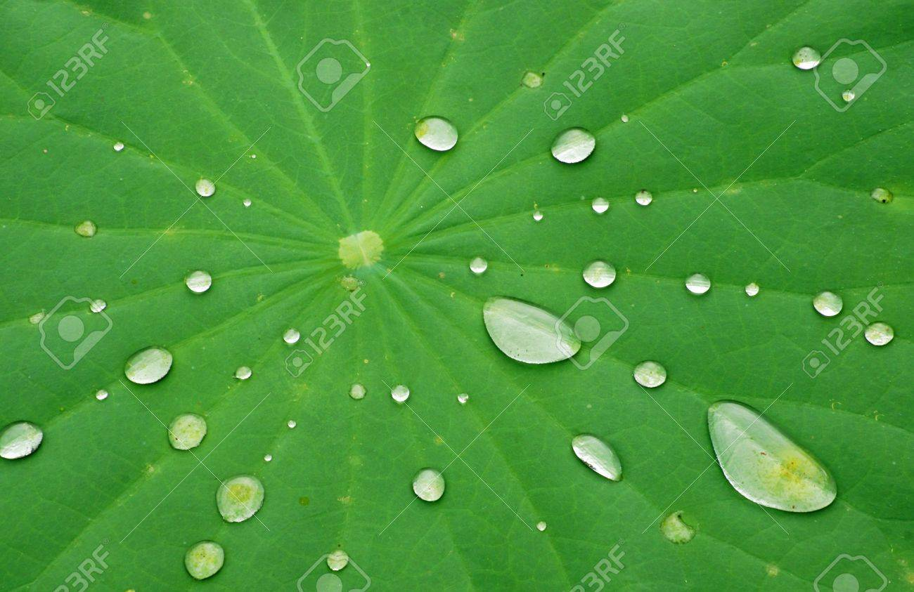 Drops of Water on Lotus Leaf Stock Photo - 10280849