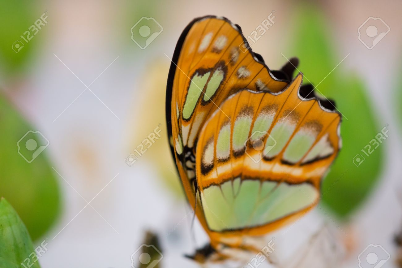 The Greta oto (Clear wing butterfly) has transparent wings, tropical butterfly found in  Costa Rica (Central America) Stock Photo - 14203542