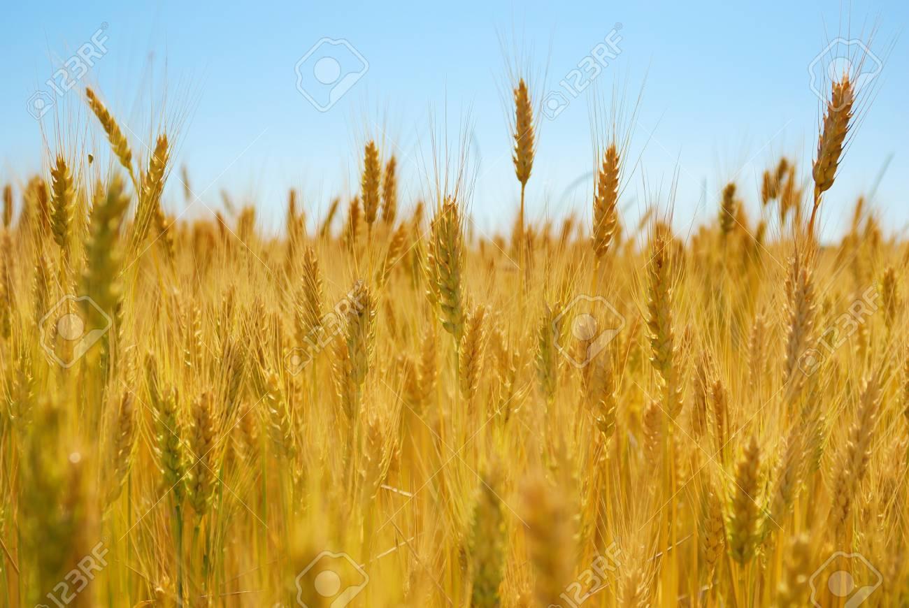 Wheat field Stock Photo - 9291227