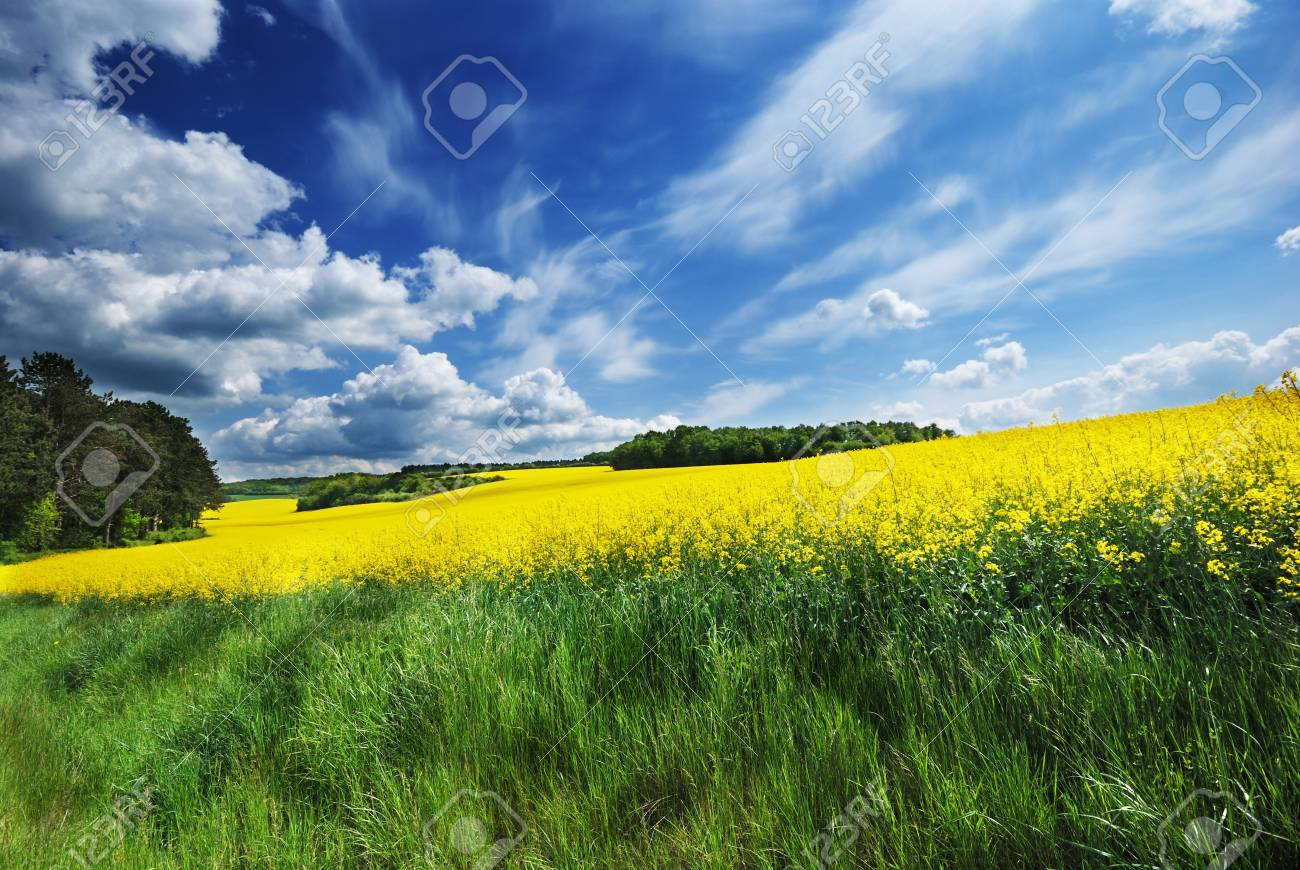 Canola field under cloudy blue sky Stock Photo - 11889608