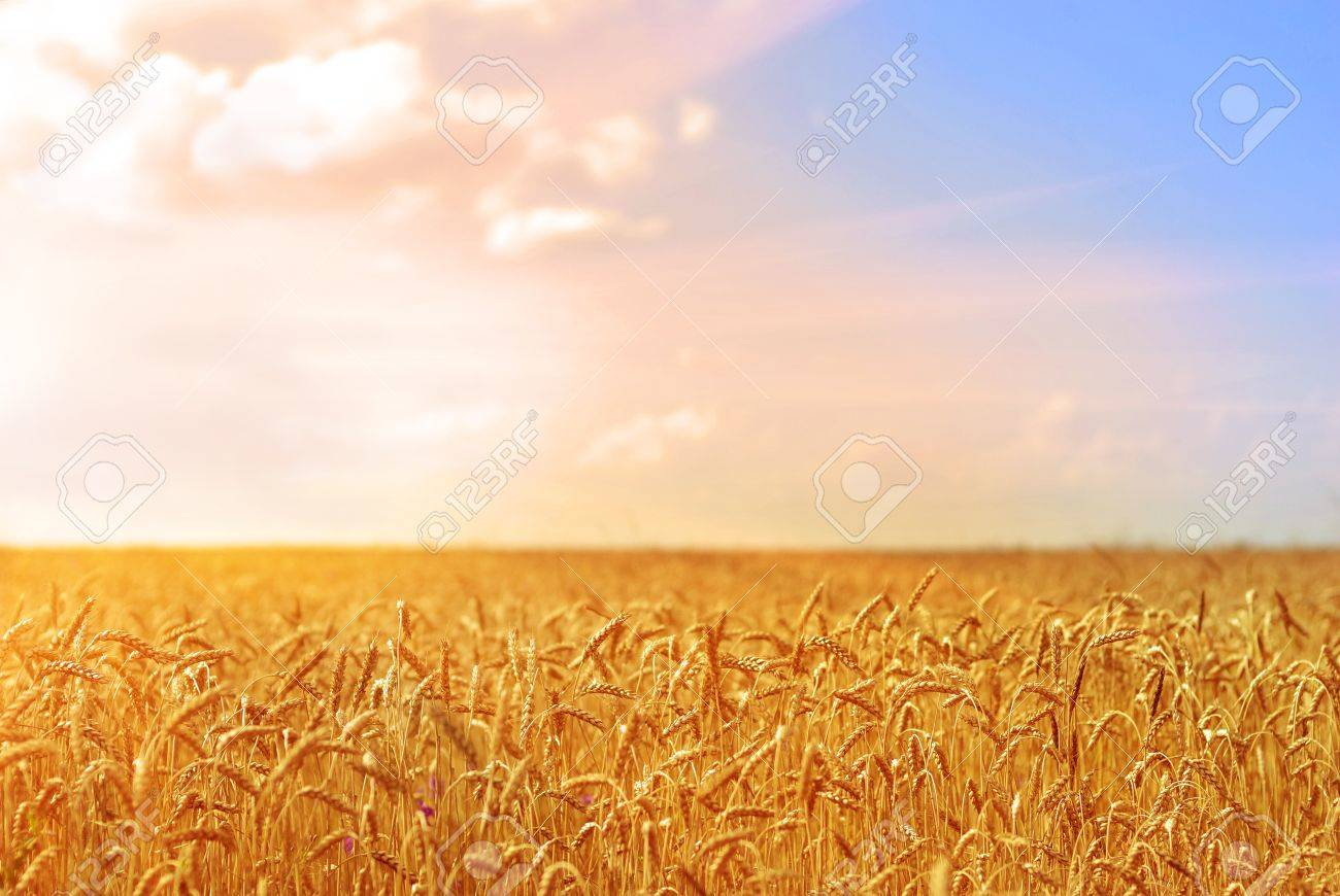 Golden wheat field under cloudy blue sky Stock Photo - 14158677