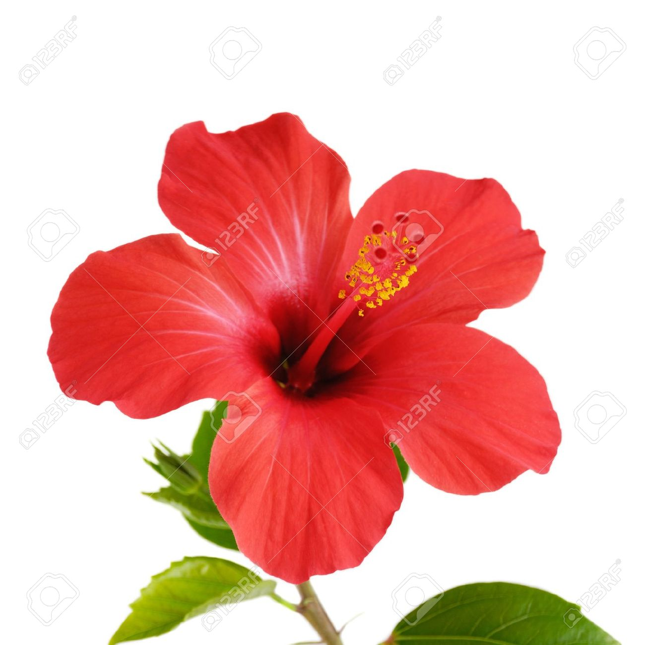 Red Hibiscus Flower Head Over White Background Stock Photo Picture