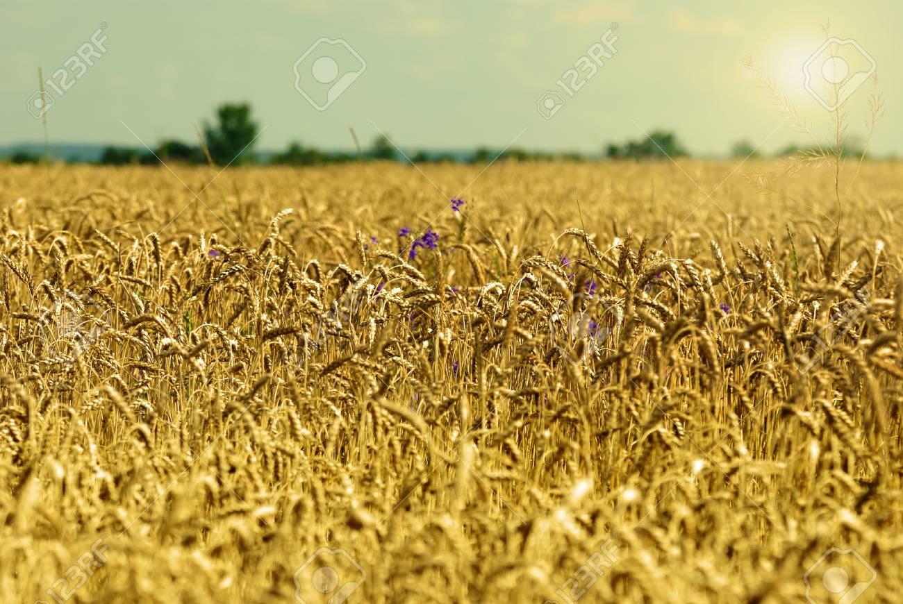 Golden wheat field under sunny blue sky Stock Photo - 16614044