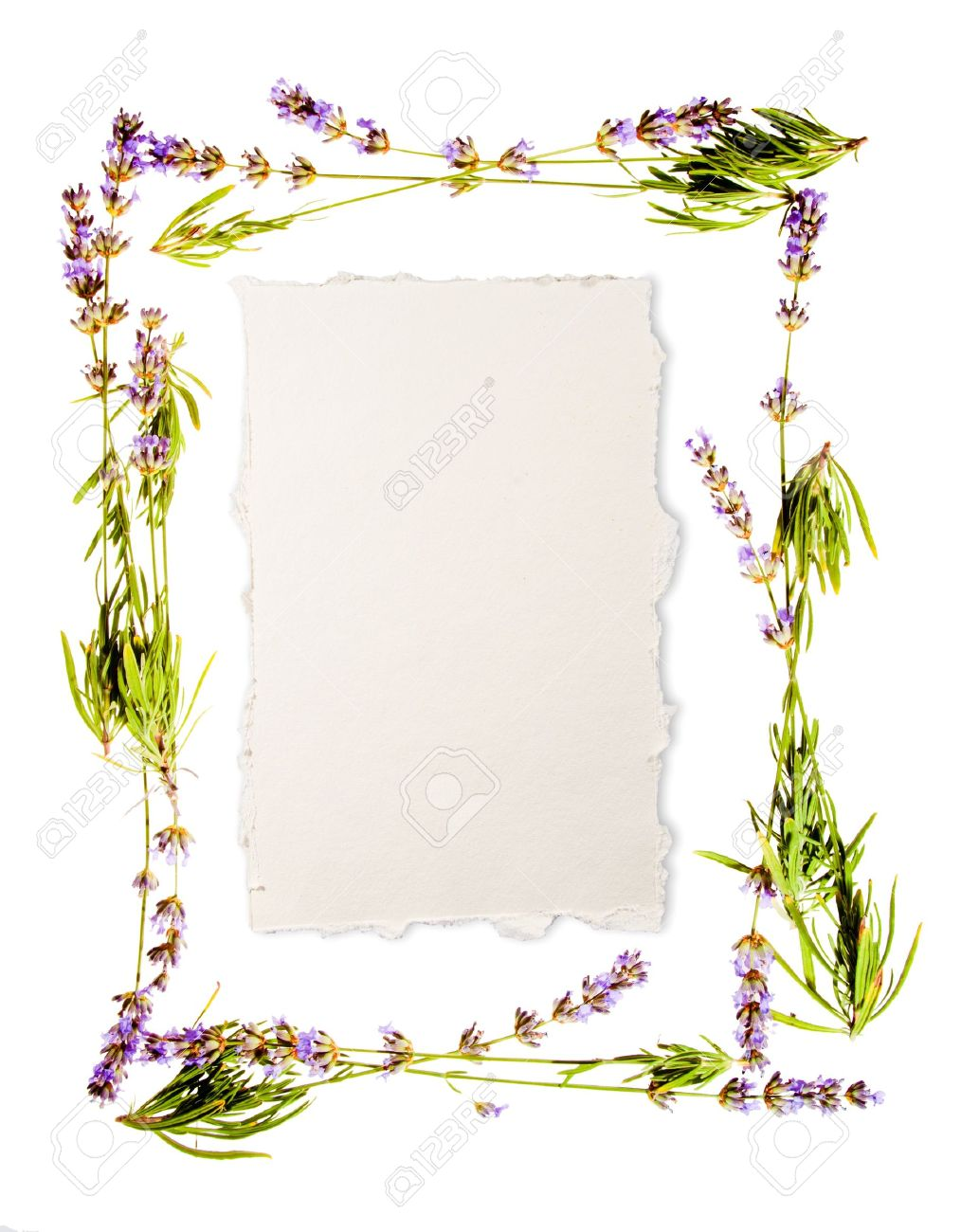Lavender frame isolated on white Sheet of aged watercolour paper in the centre for your message If you don - 14041163