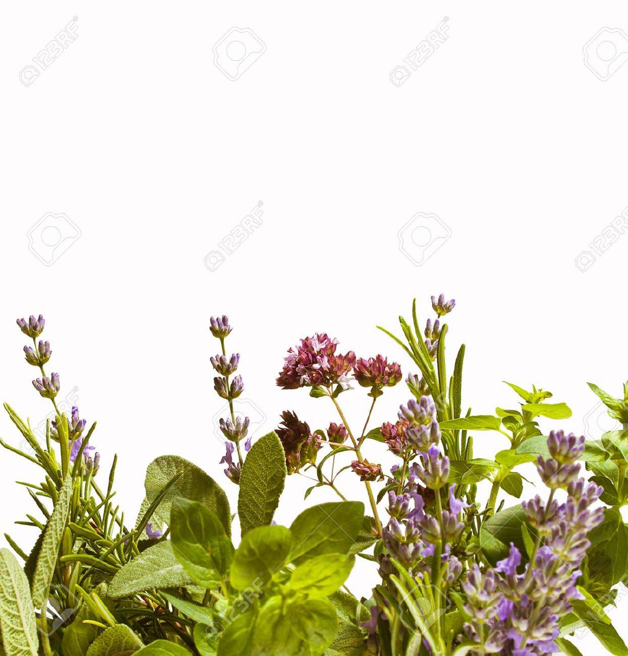 Summer herbs isolated against white background lavender, rosemary, sage and oregano in bloom - 14044278
