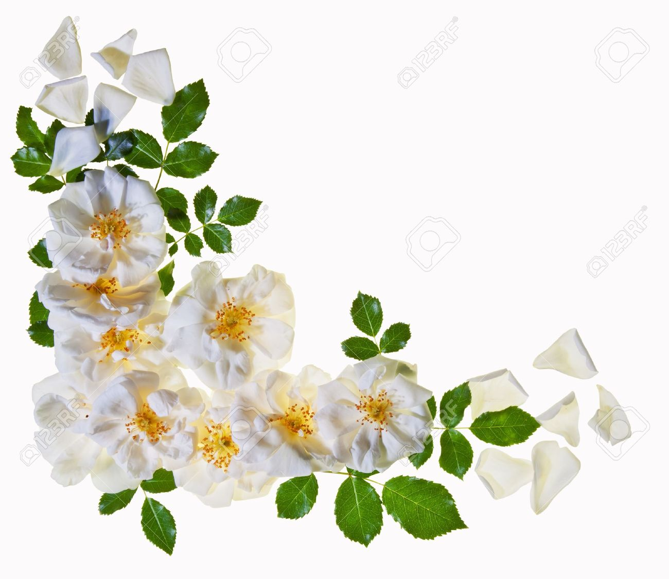 A border of beautful pure white roses isolated against white background - 14041158