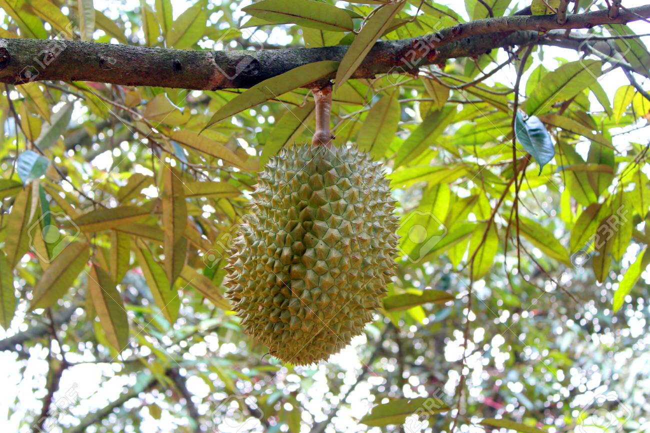 Durian tree, Fresh durian fruit on tree, Durians are the king