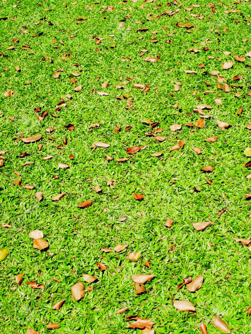 Brown leaves regularly  scatterd over the surface of a lawn Stock Photo - 25867628