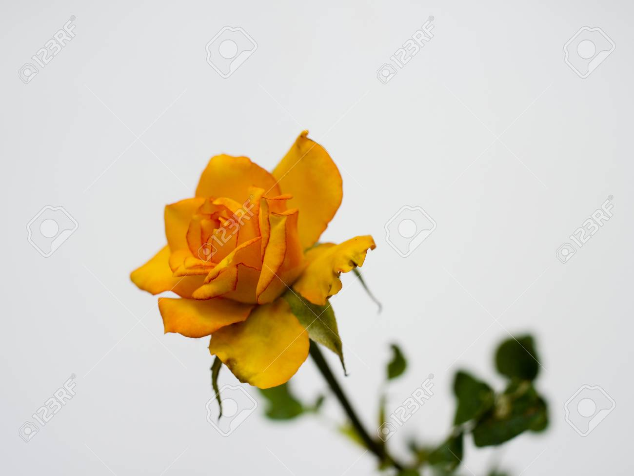 A yellow rose is the symbol of friendship stock photo picture and a yellow rose is the symbol of friendship stock photo 28622389 mightylinksfo