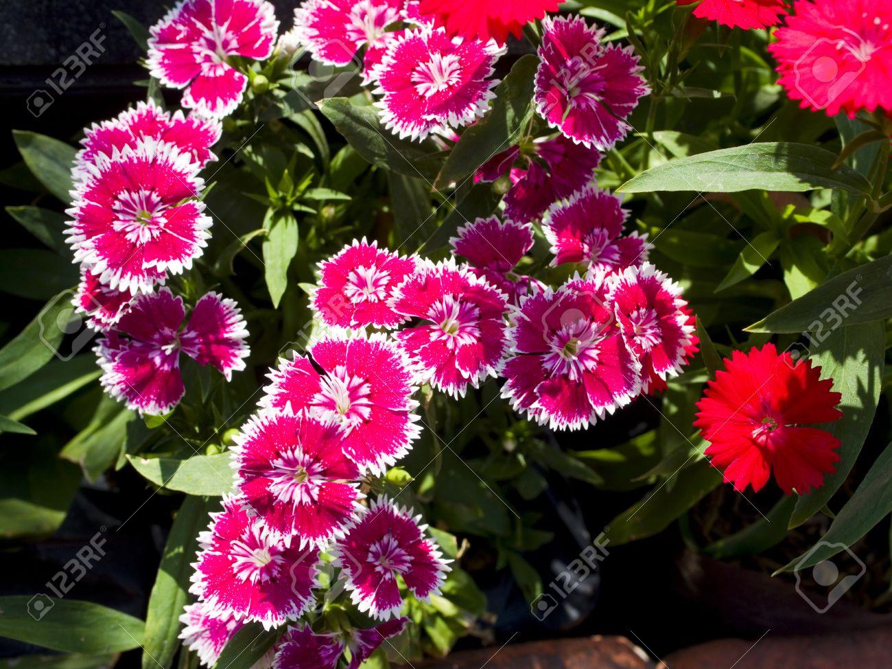 Butterfly è Una Piante Da Fiore Con Petali Di Fiori Bellissimi Seghettate Fiori Gamma Di Colore Bianco Rosa Rosso Viola