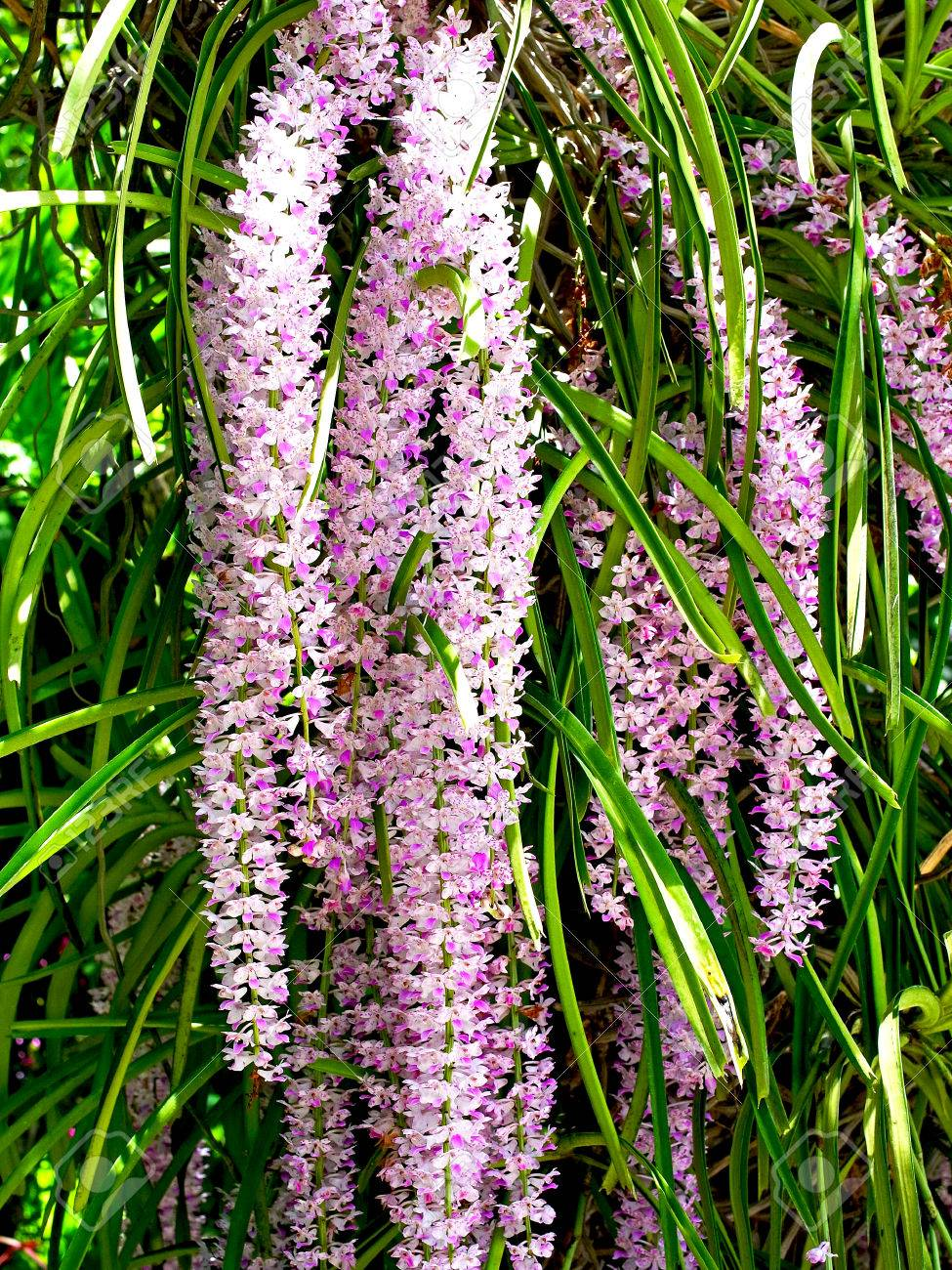 Bunches Of Pink And White Aromatic Flowers Of Rhynchostylis Gigantea