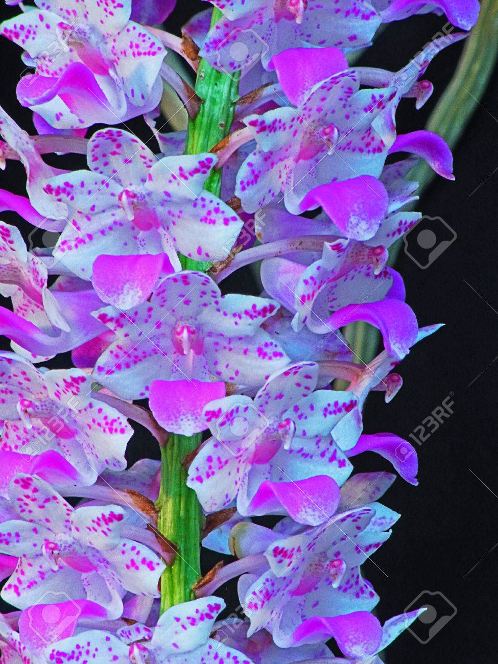 A Bunch Of Pink And White Aromatic Flowers Of Rhynchostylis Stock