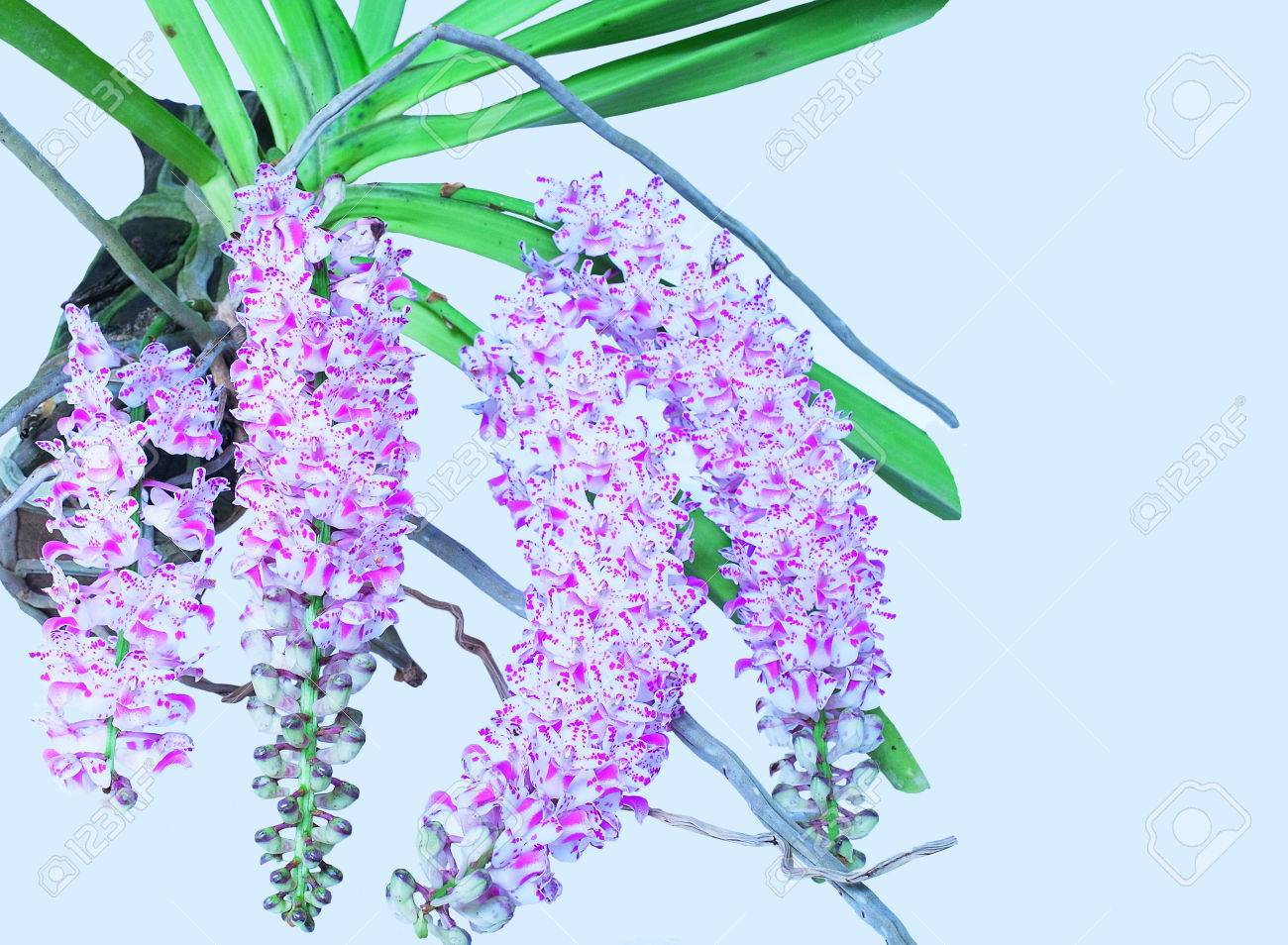 Bunches Of Pink And White Aromatic Flowers Of Rhynchostylis Stock