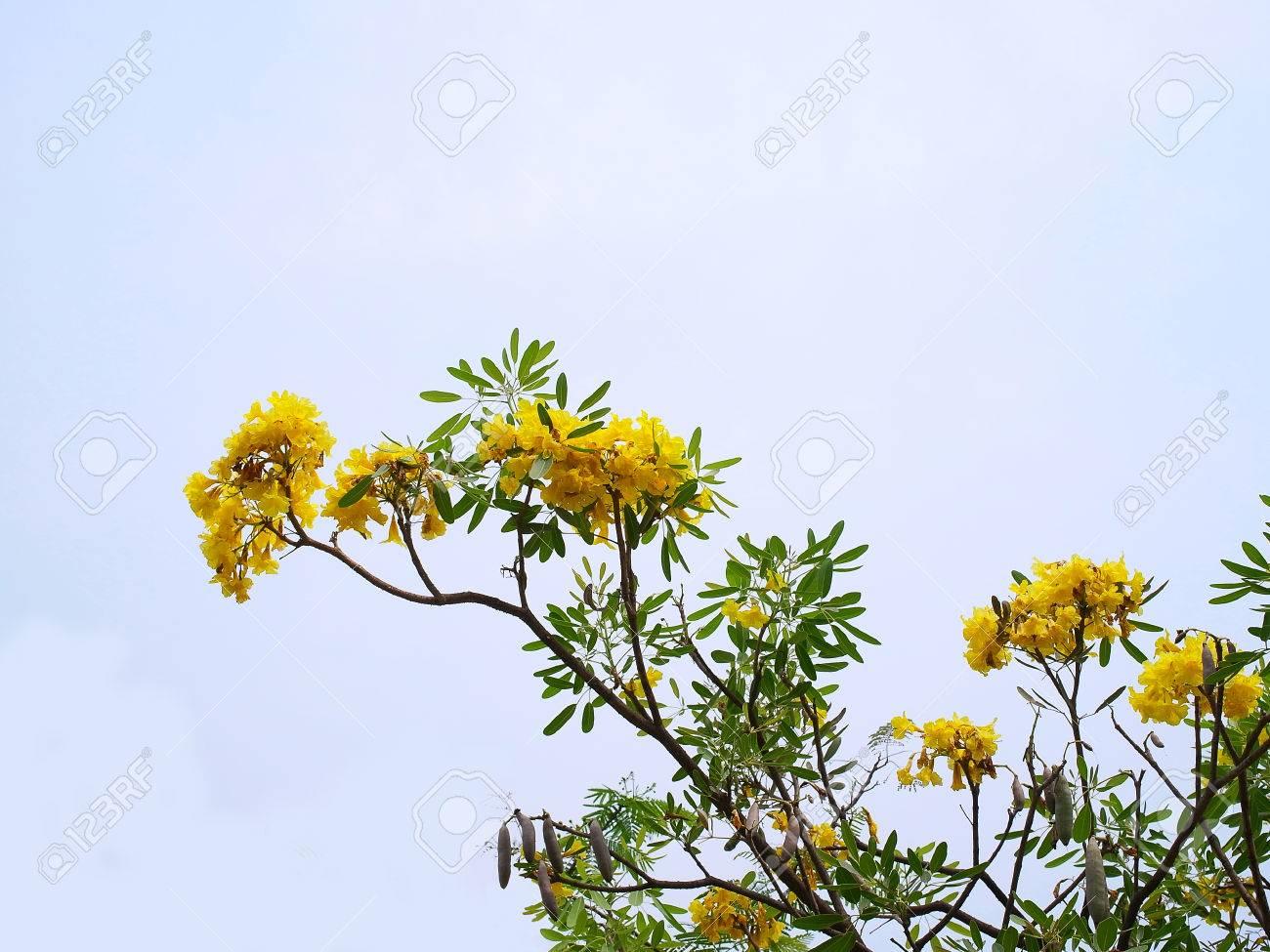 Arbusto A Fiori Gialli tongurai è un piccolo arbusto con fiori gialli, bordi seghettati di foglie  verdi e marroni baccelli di semi.