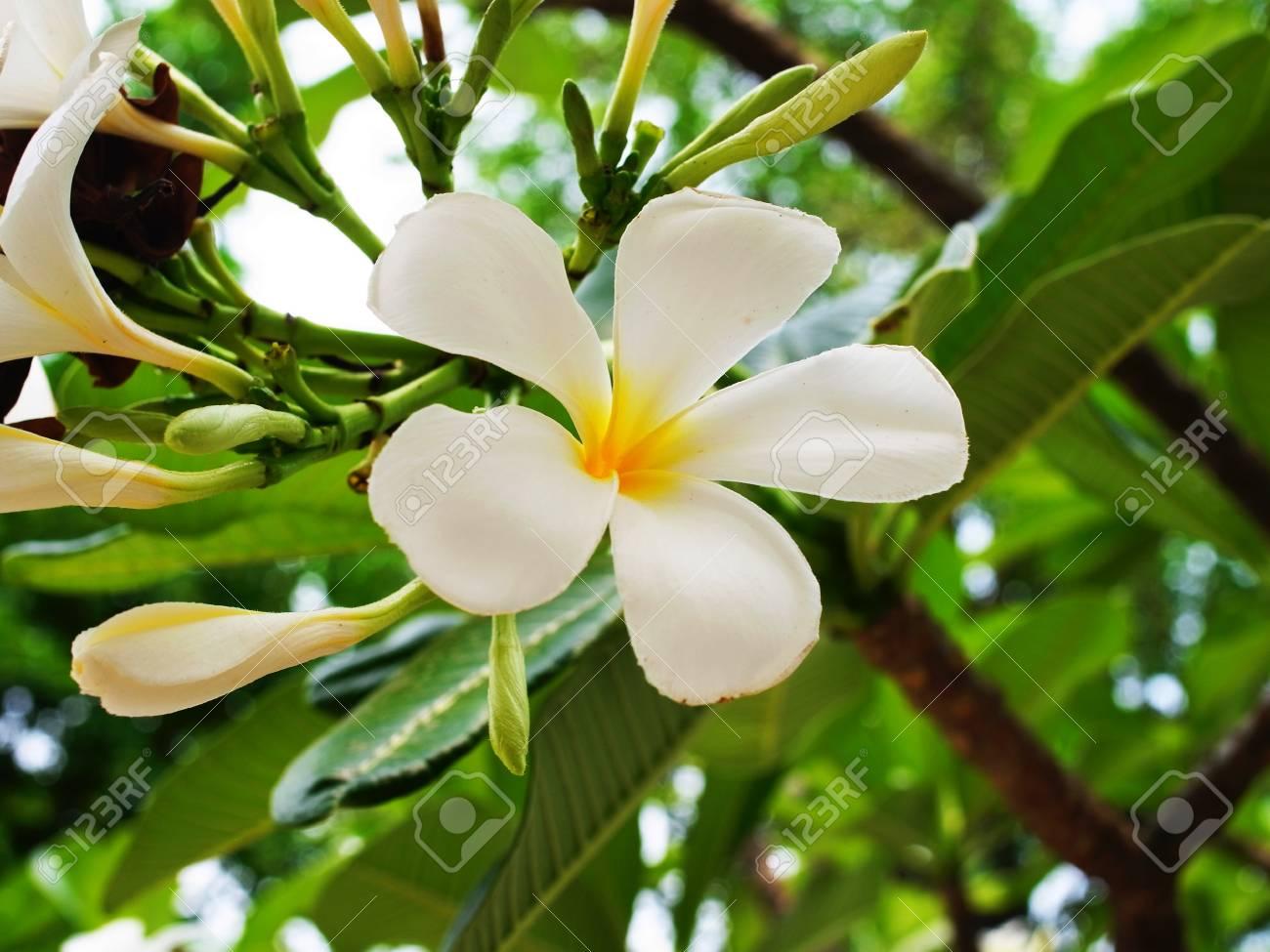 Los Arboles Tropicales Con Hermosas Flores Blancas Elegantes Fotos