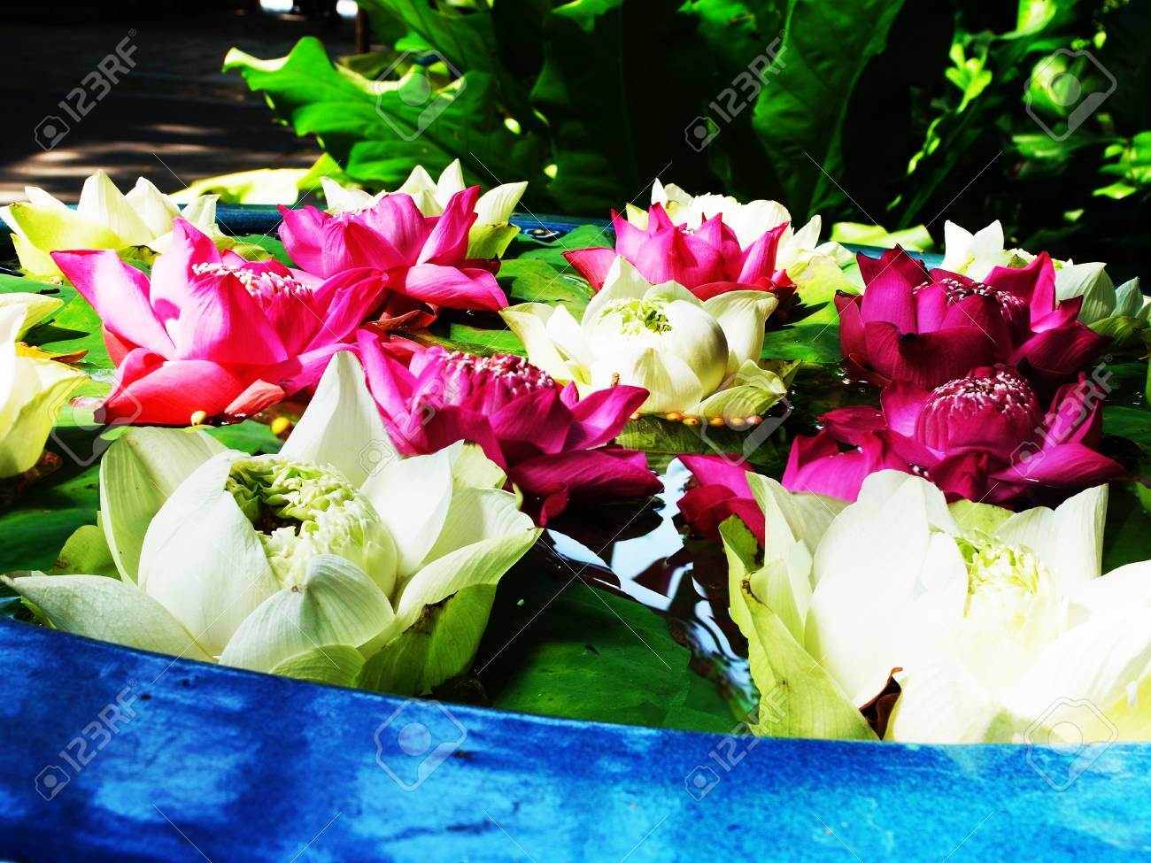 Lotus Flowers Of White And Pink Colors Are Planted As Ornamental
