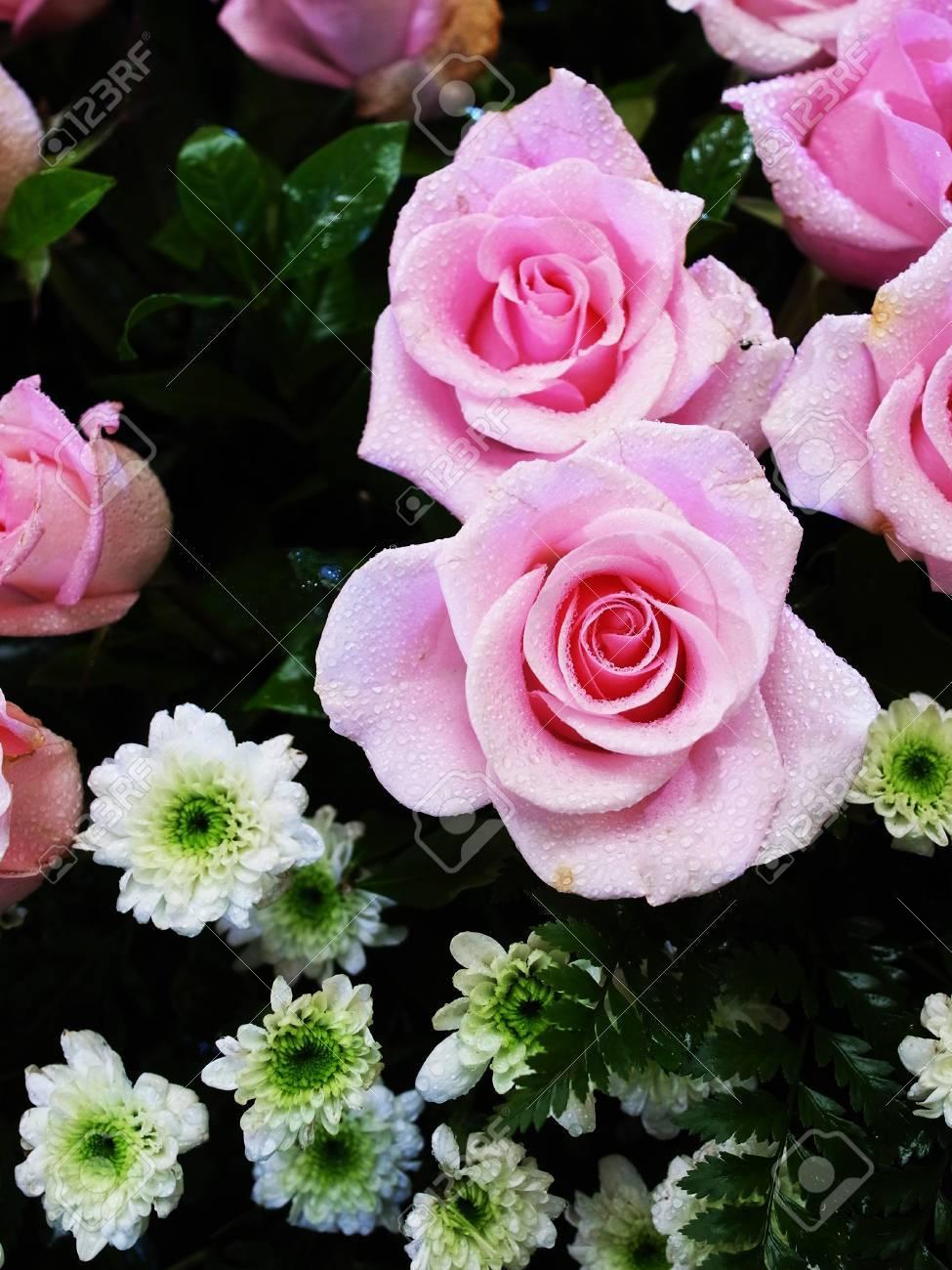 Las Rosas Rosadas Son El Símbolo De La Belleza Y La Ternura