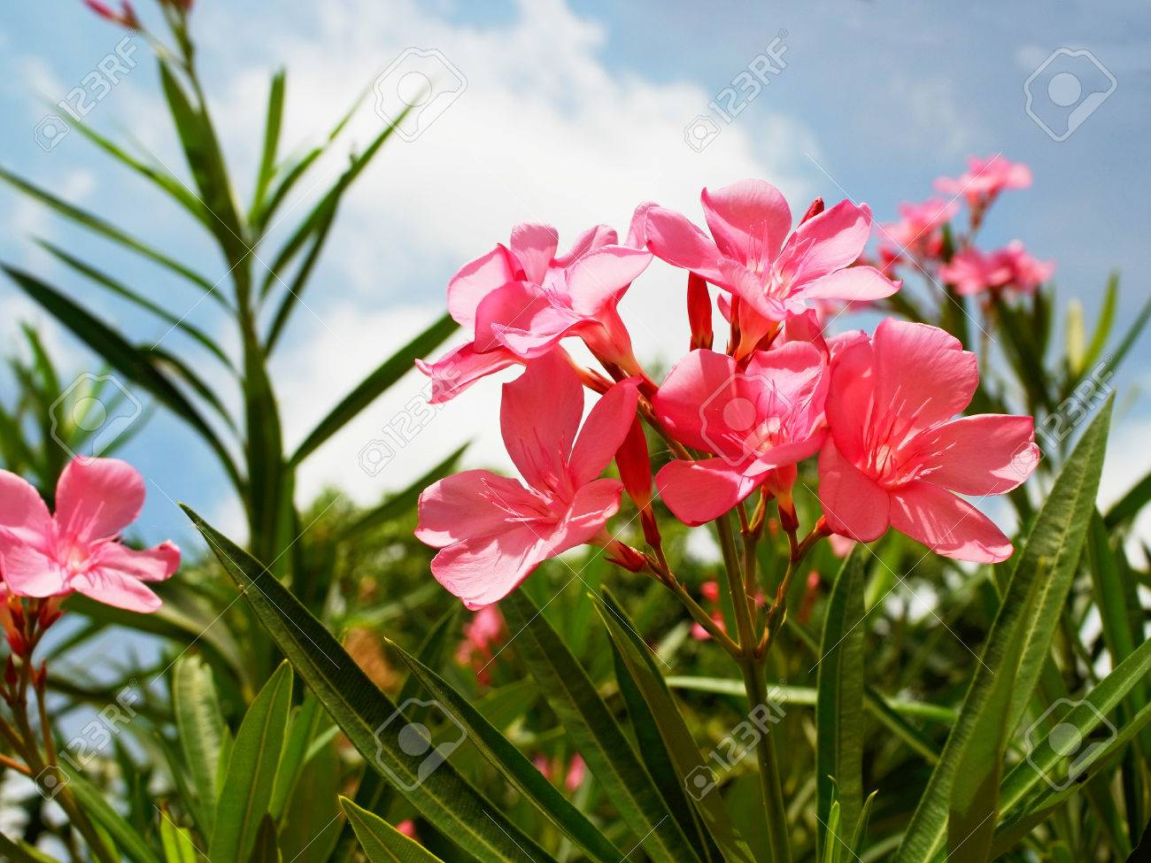 The small evergreen shrub with pink flowers and is considered stock photo the small evergreen shrub with pink flowers and is considered one of the most poisonous of garden plants mightylinksfo
