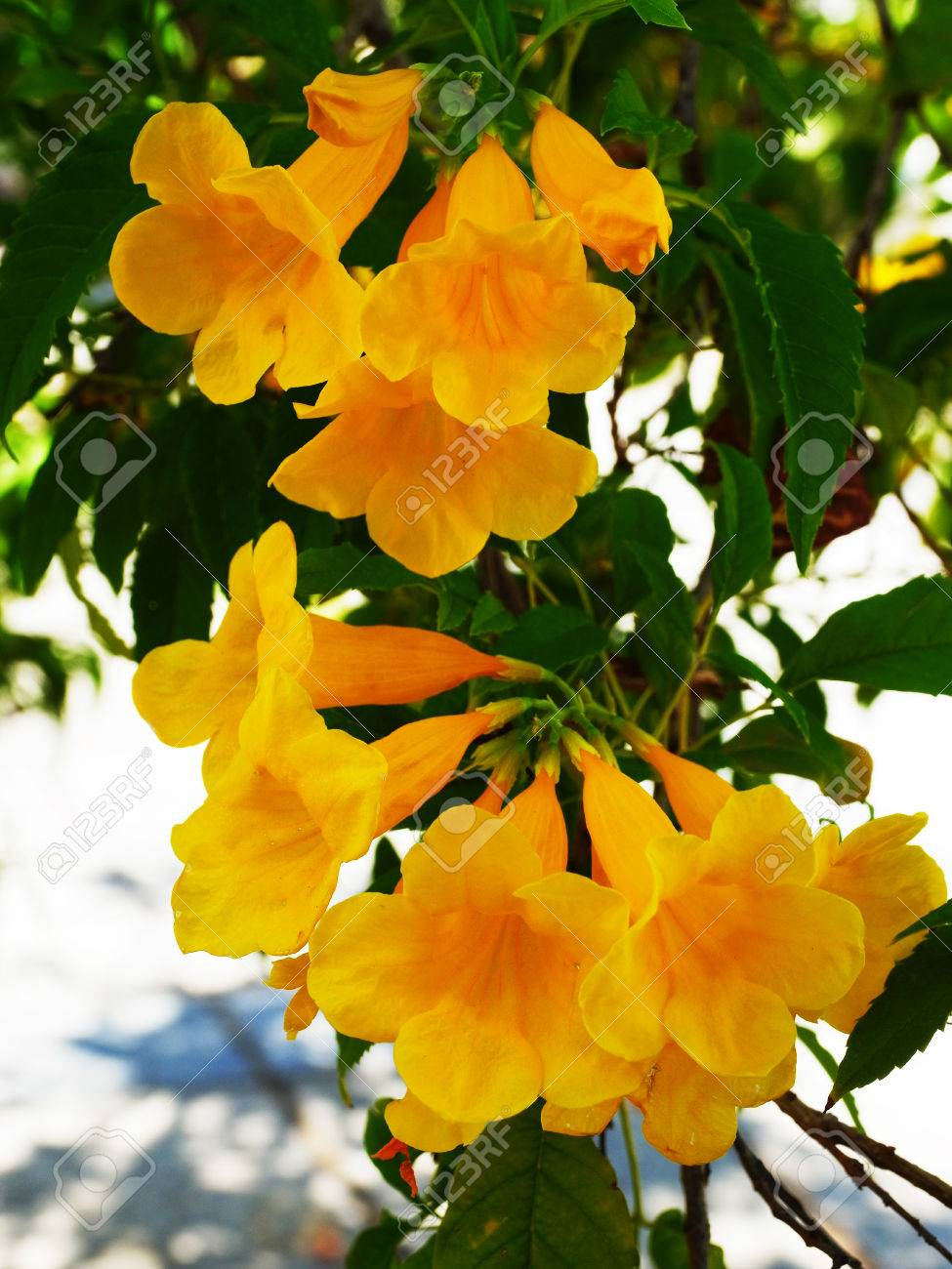 The Bright Golden Yellow Trumpet Shaped Flowers Of Tecoma Stans