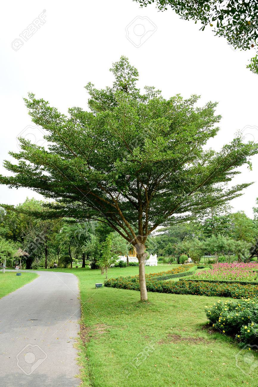 The large deciduous tree with straight bole and wide horizontal canopy of evenly destributed foliage. & The Large Deciduous Tree With Straight Bole And Wide Horizontal ...