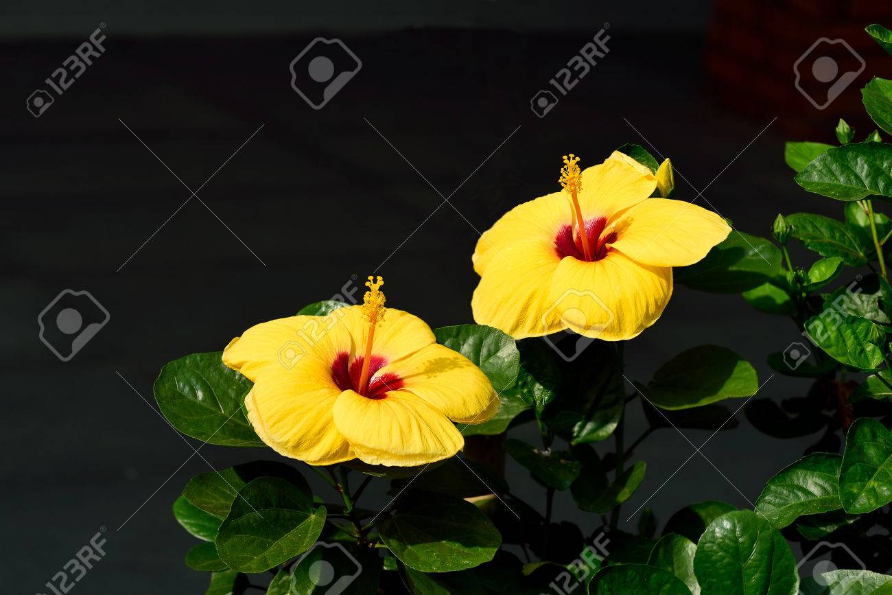 Yellow Trumpet Shaped Flowers Of Hibiscus Grown As An Ornamental