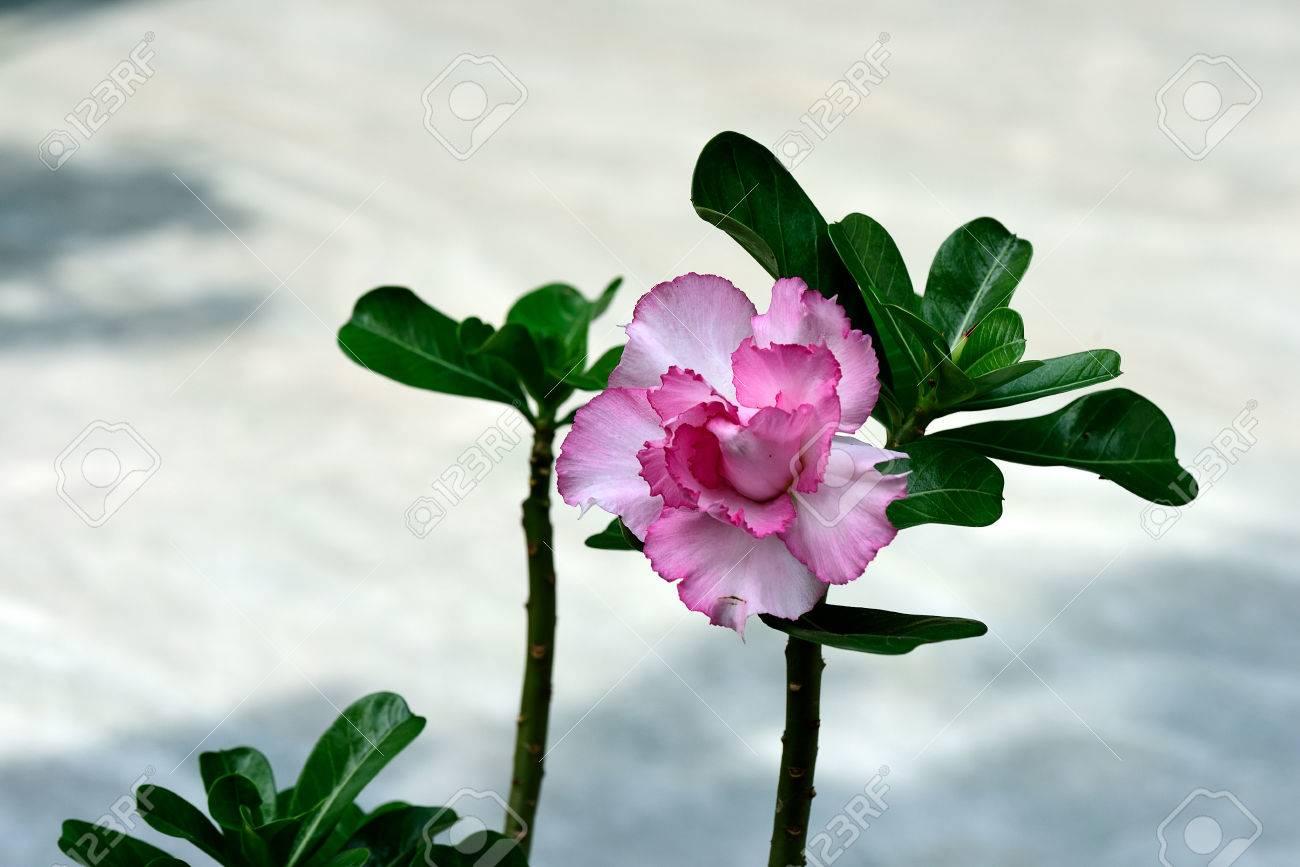 Die Zimmerpflanze Mit Ihren Rosa Gefärbt Flowerand Cluster Von