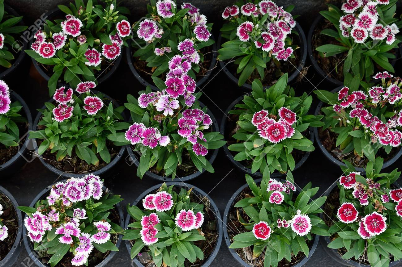 An Ornamental Plant That Its Flowers Are Pink White Or Red Stock