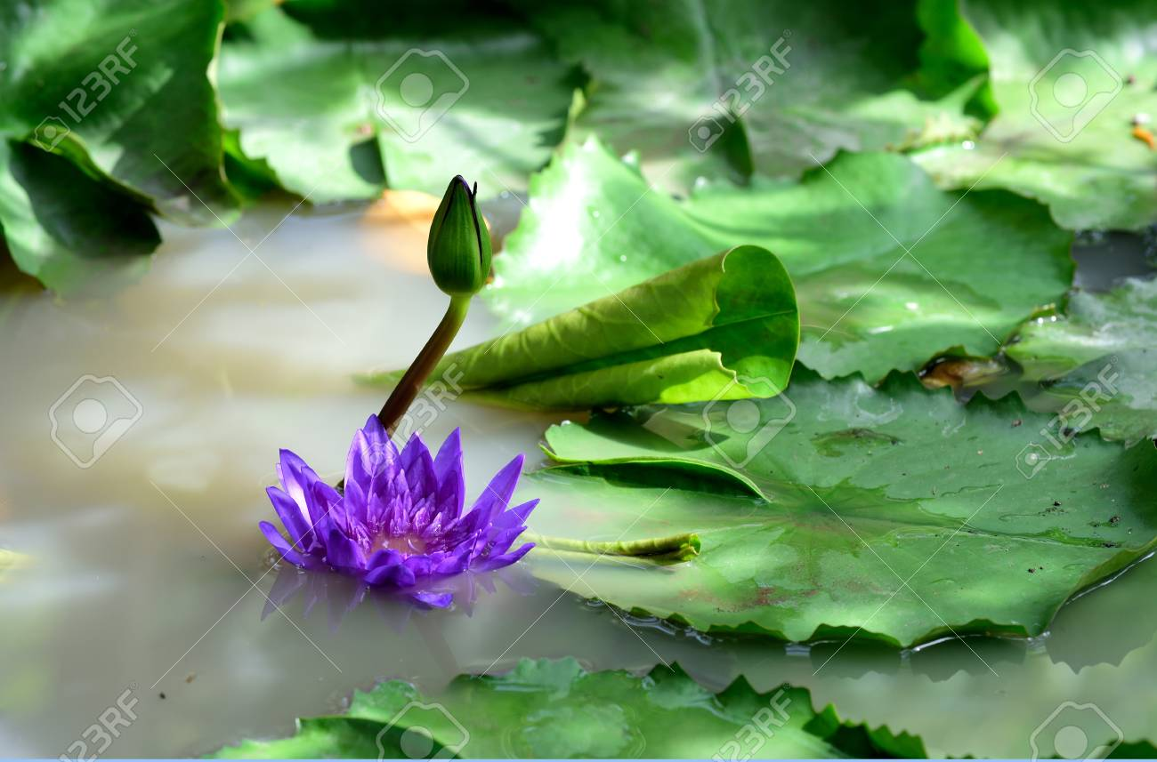 Purple lotus flowers in budding and late blooming stage stock purple lotus flowers in budding and late blooming stage stock photo 62261358 mightylinksfo