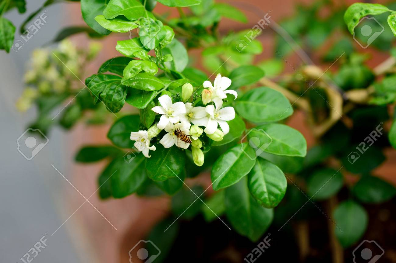 The tropical evergreen tree with dense and fragrant white flowers stock photo the tropical evergreen tree with dense and fragrant white flowers and an honey bee mightylinksfo