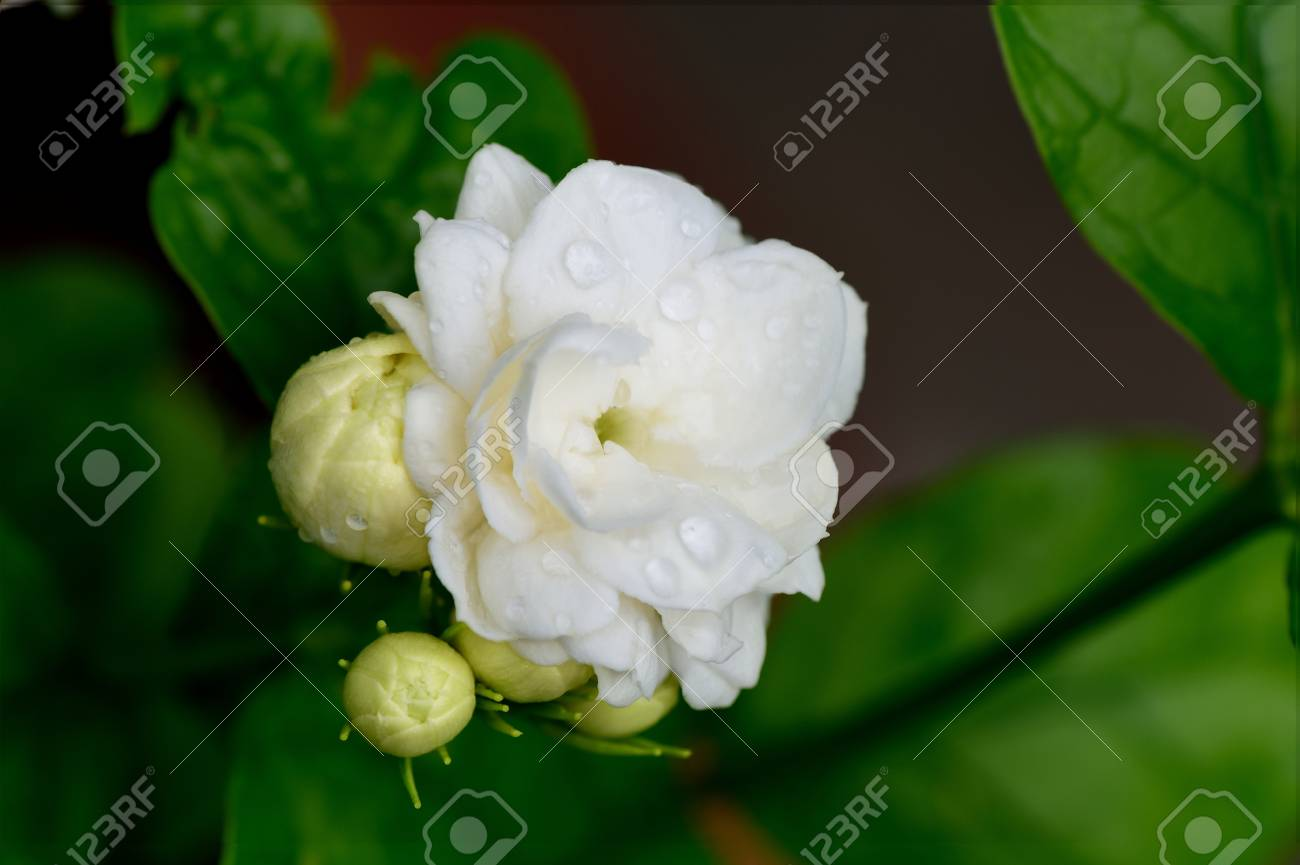 Jasmine flowers in bloom and bud are used as a symbol of love jasmine flowers in bloom and bud are used as a symbol of love and respect to izmirmasajfo