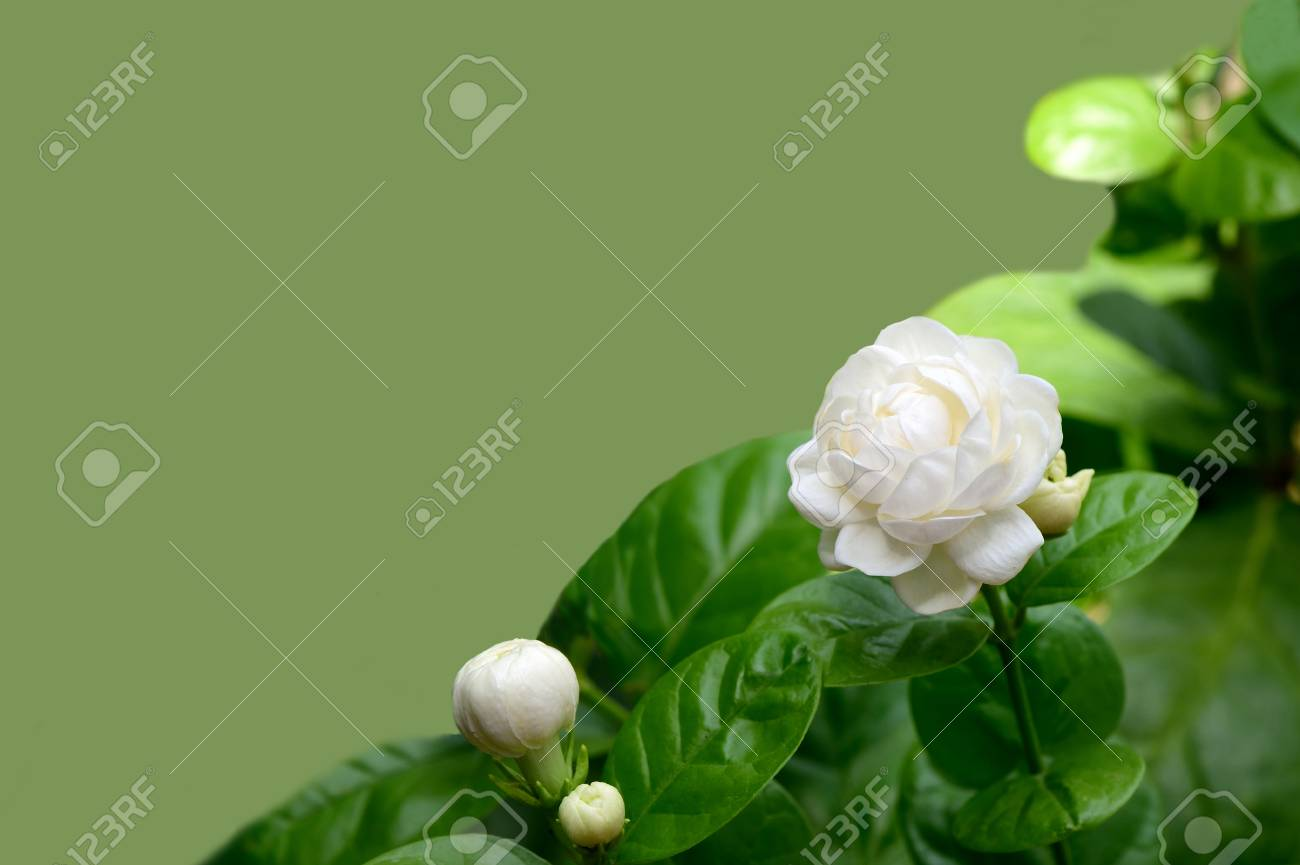The Clusters Of Jasmine Flowers In Bloom And Bud With Characteristic