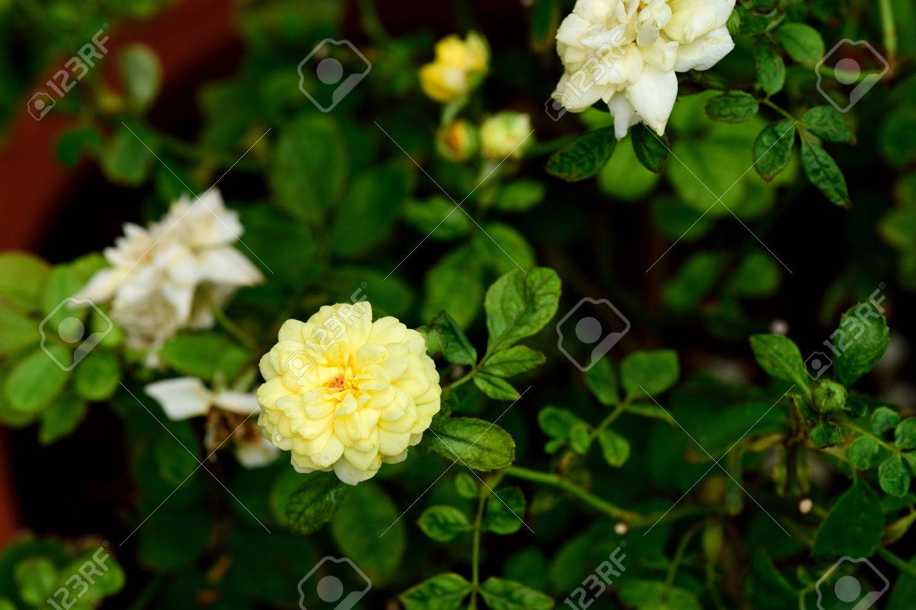 Yellow roses are a symbol of friendship and purity of love stock yellow roses are a symbol of friendship and purity of love stock photo 62261561 biocorpaavc Images