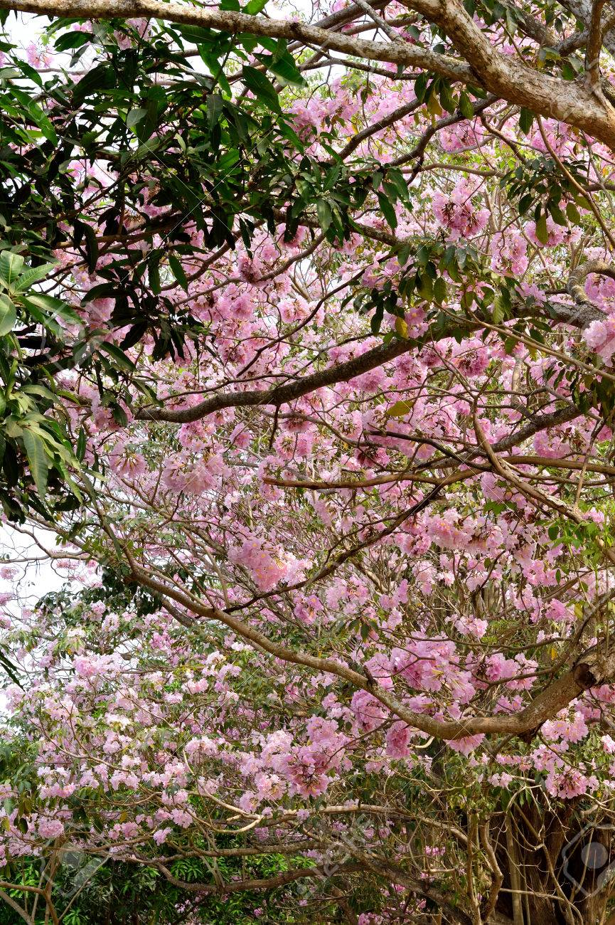 Pink To Purple Large Flowers Of Tabebuia Trees At Kasetsart