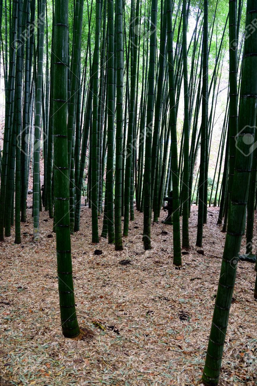 Upright Stems Of Dark Green Bamboo Plants In A Japanese Garden