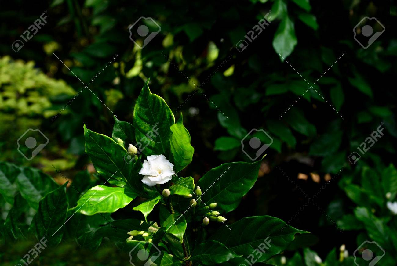 The Evergreen Flowering Plant With Shiny Green Leaves And Fragrant