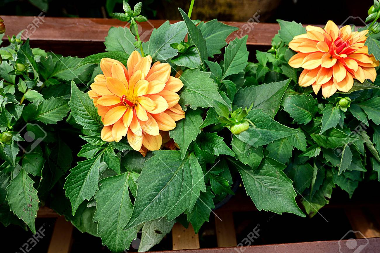 Yellow Flowers Of Bushy Tuberous Plants Stock Photo Picture And