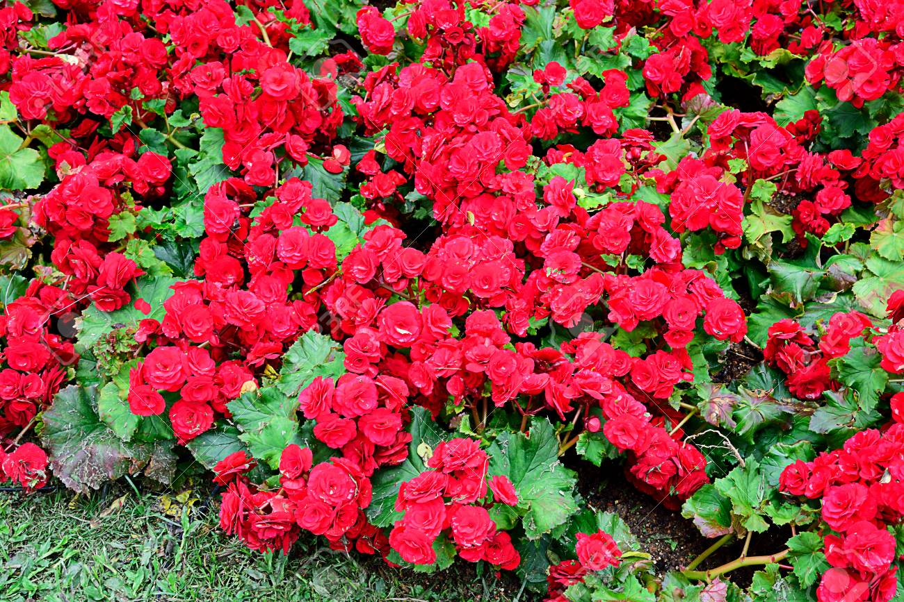 The perennial plants with bright red colored flowers stock photo stock photo the perennial plants with bright red colored flowers mightylinksfo
