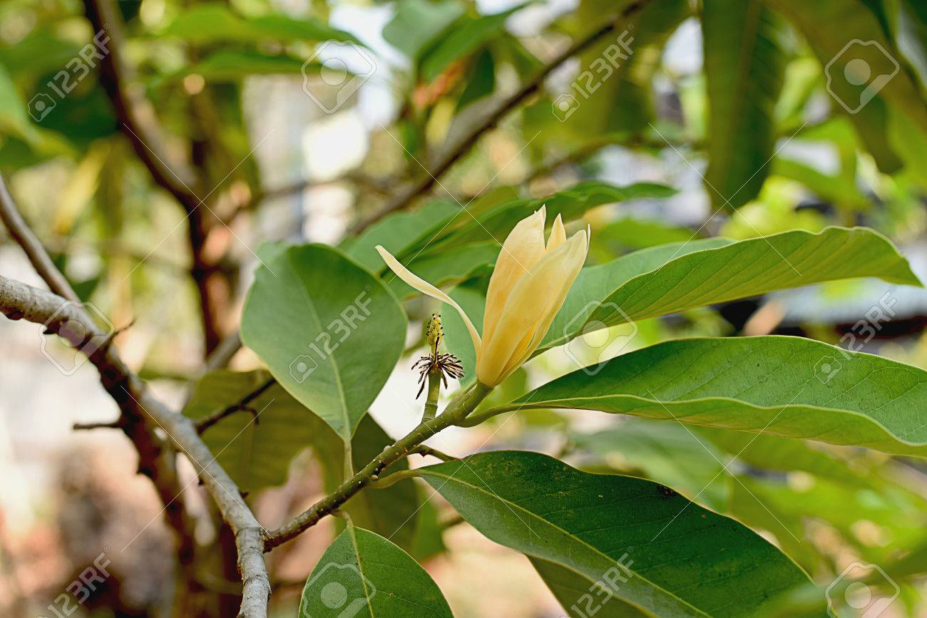 The Tropical Tree Which Has Strongly Fragrant Flowers In Shade
