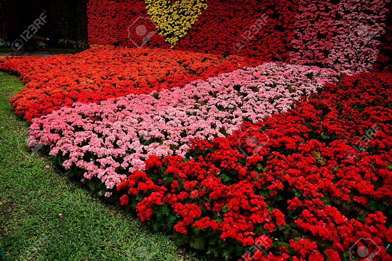 L Arrangement Des Fleurs De Begonia Est Un Coeur Jaune Entoure De