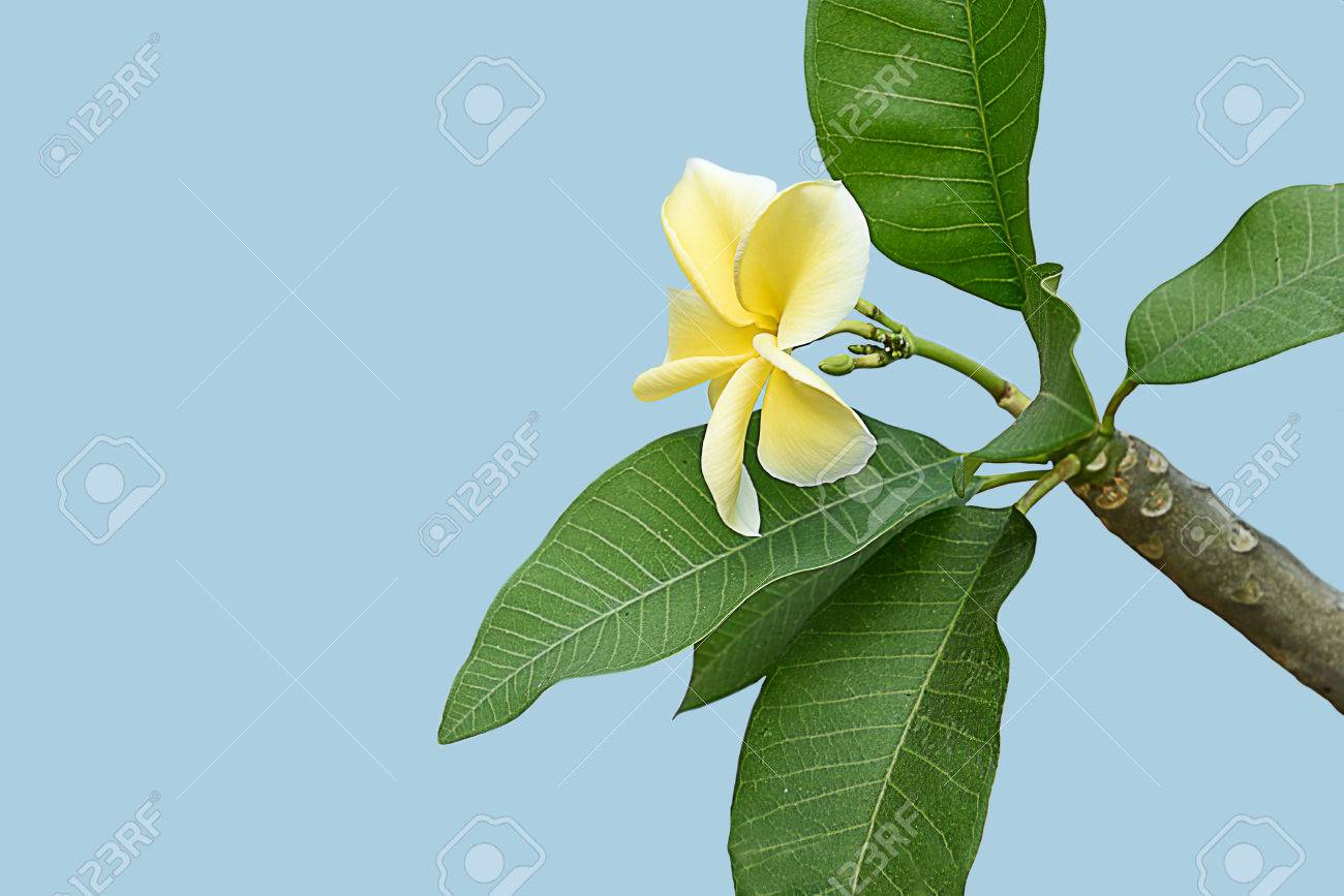 The five petals of plumeria flower in shade of yellow color with stock photo the five petals of plumeria flower in shade of yellow color with strong fragrance mightylinksfo