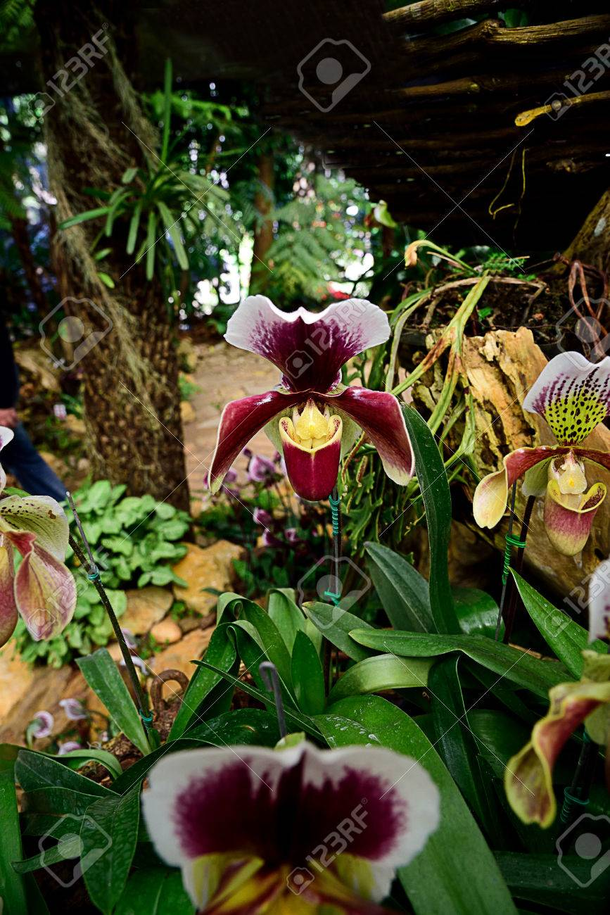 Stock photo the semiterrestrial orchids that are easily grown as houseplants and have unique pouch