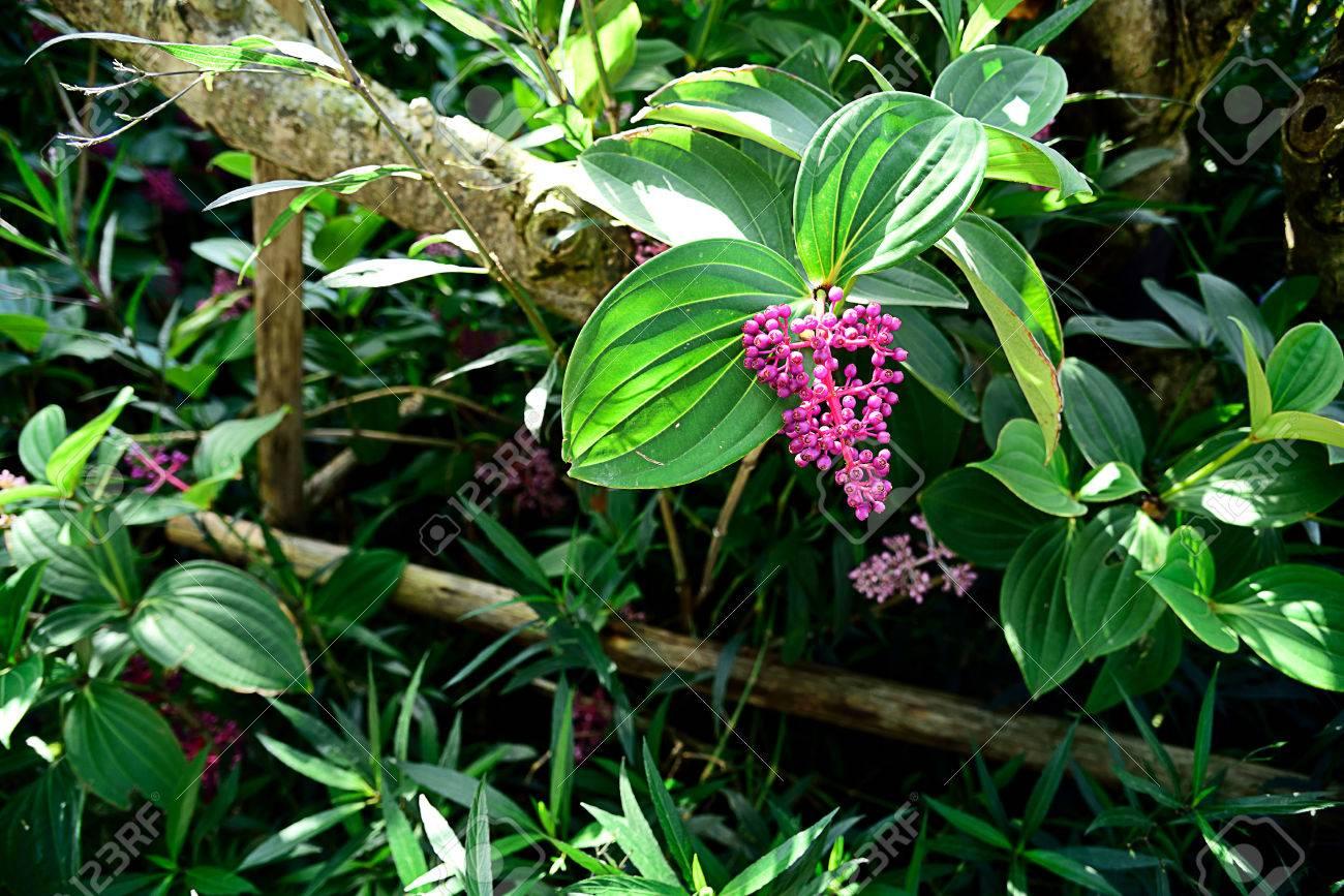 Un Pequeño Arbusto De Hoja Perenne Con Flores Vistosas Rosas Fotos Retratos Imágenes Y Fotografía De Archivo Libres De Derecho Image 79128125