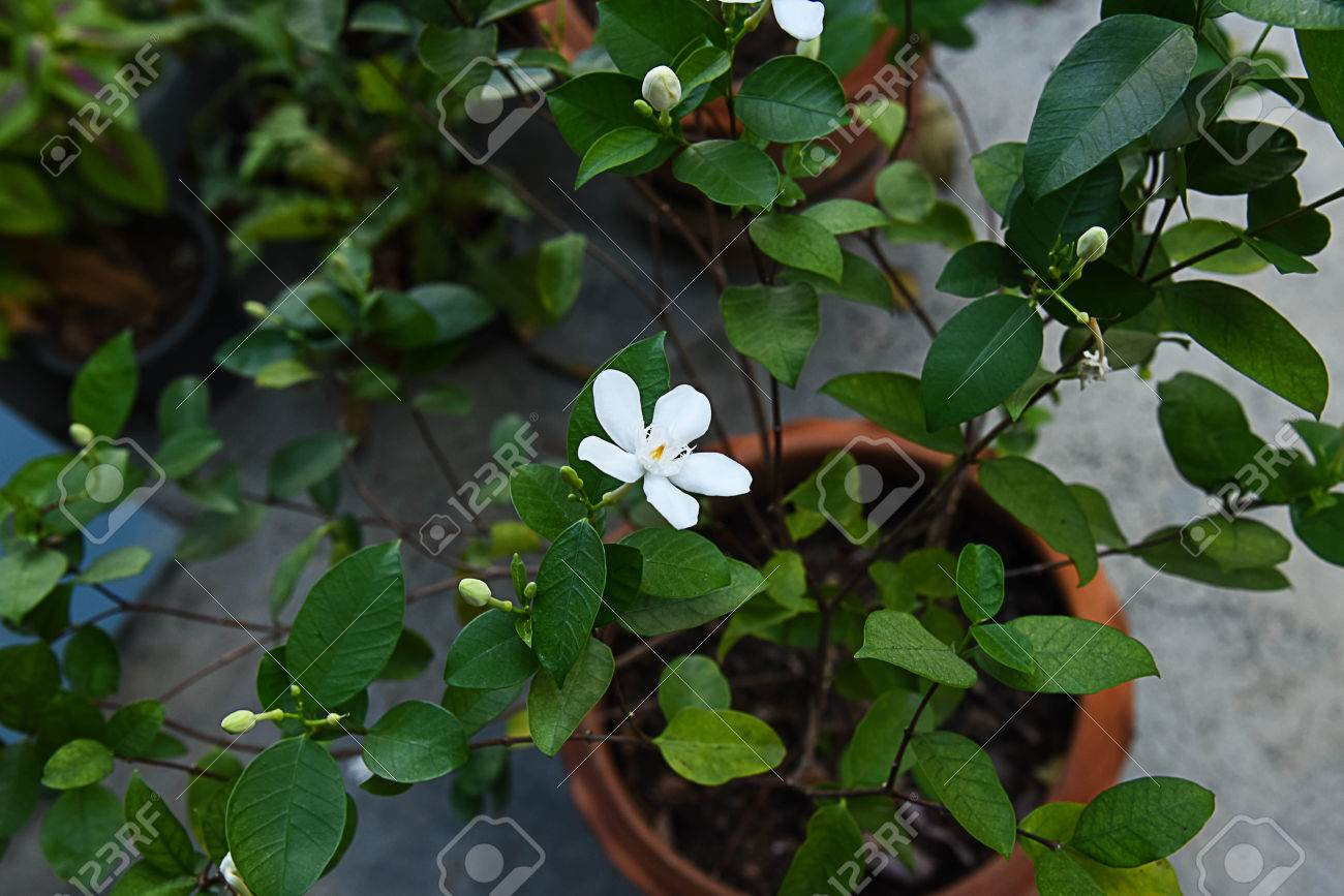 The tropical flowering plant that produce white star shaped stock stock photo the tropical flowering plant that produce white star shaped flowers throughout the year mightylinksfo
