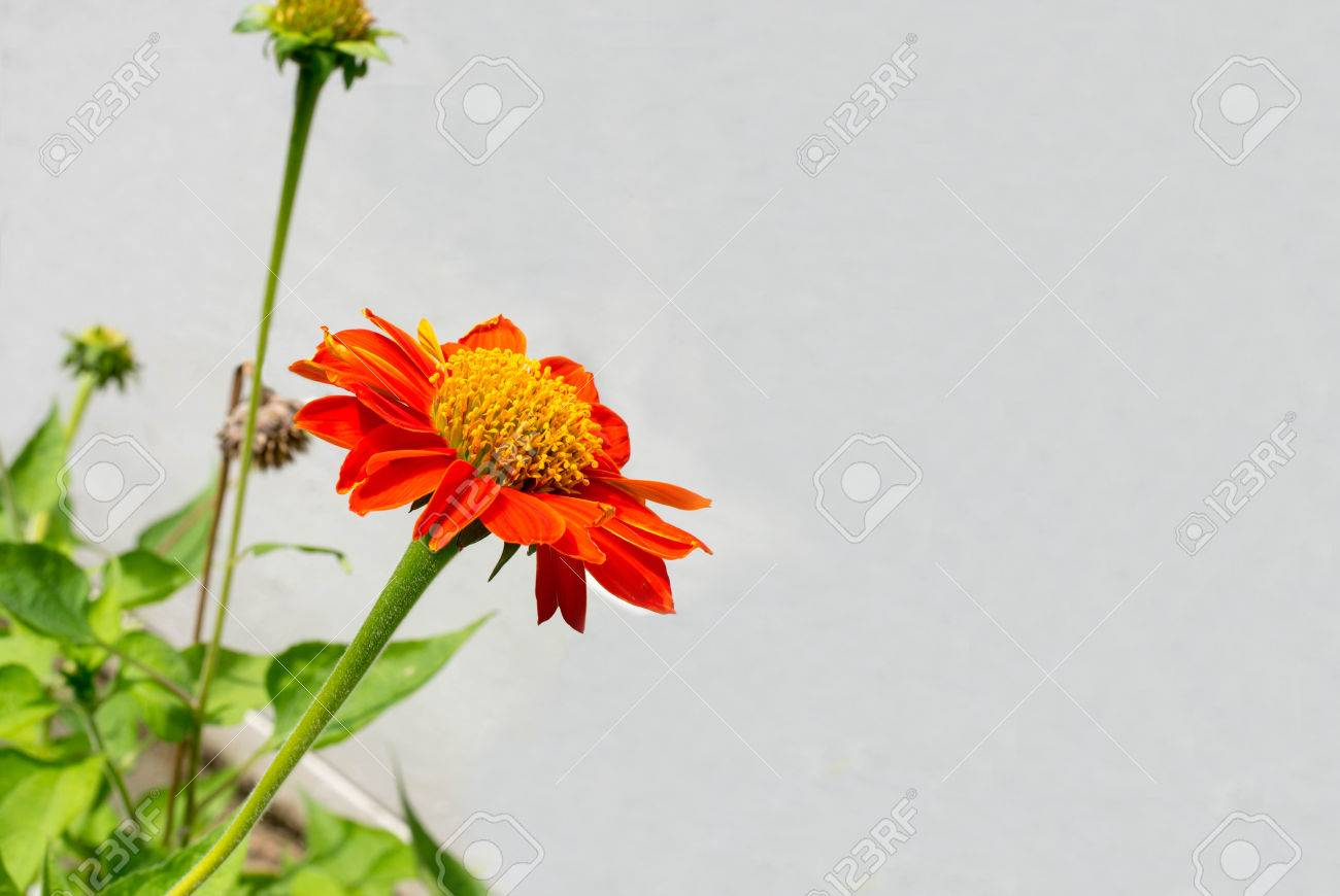 Mexican Sunflower Native To Mexico With Orange Red Flower
