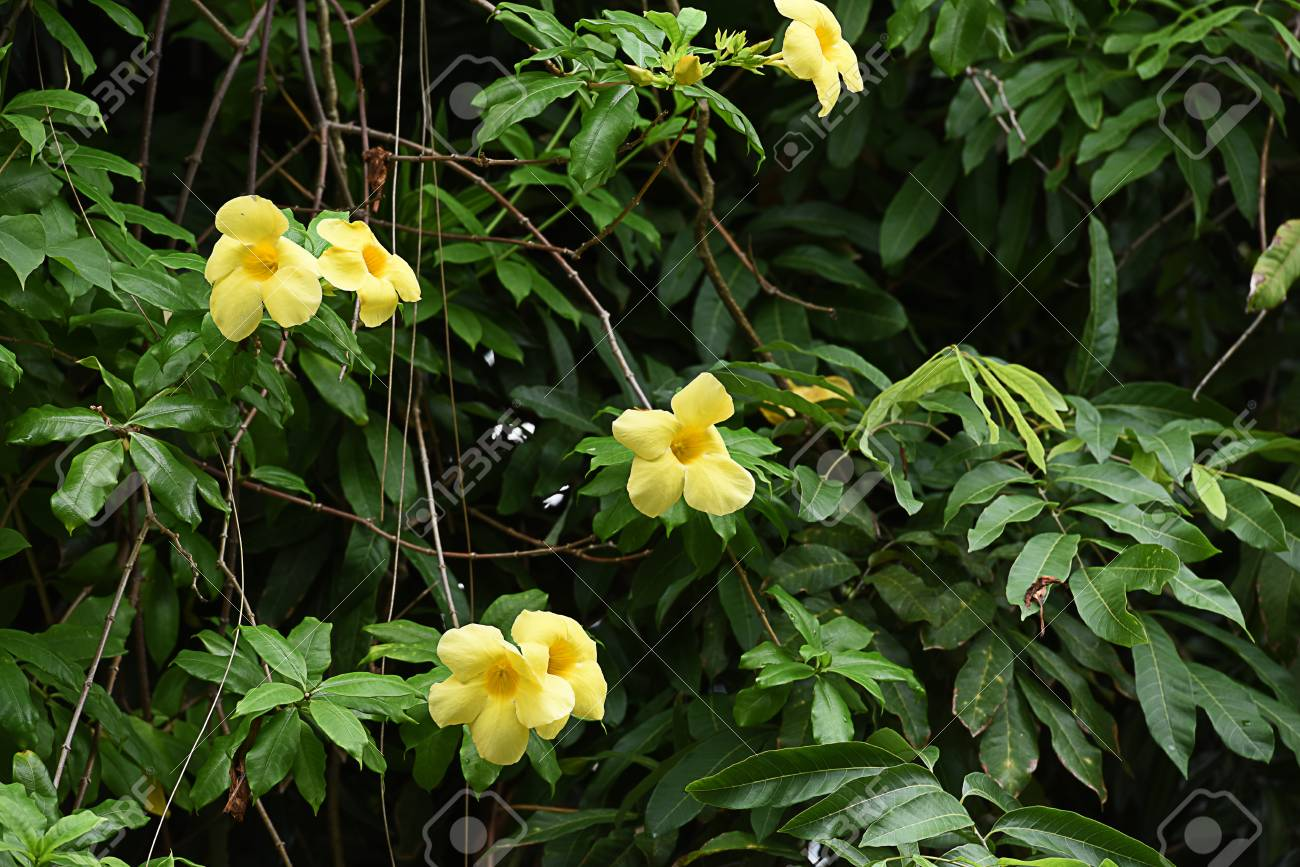 The Flowering Plant With Yellow Flowers And Can Be Grew As Shrub
